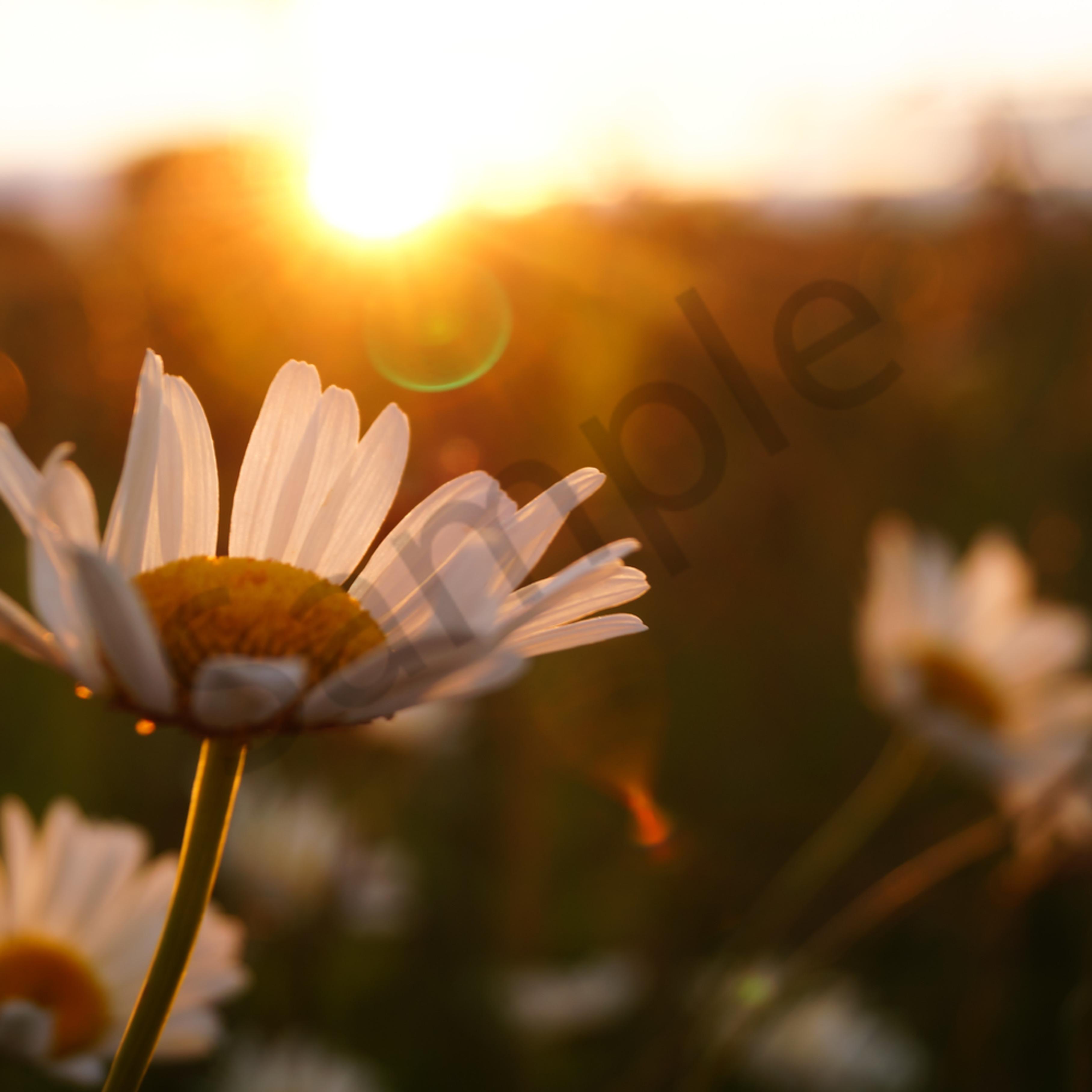 Sunset daisies gvacga