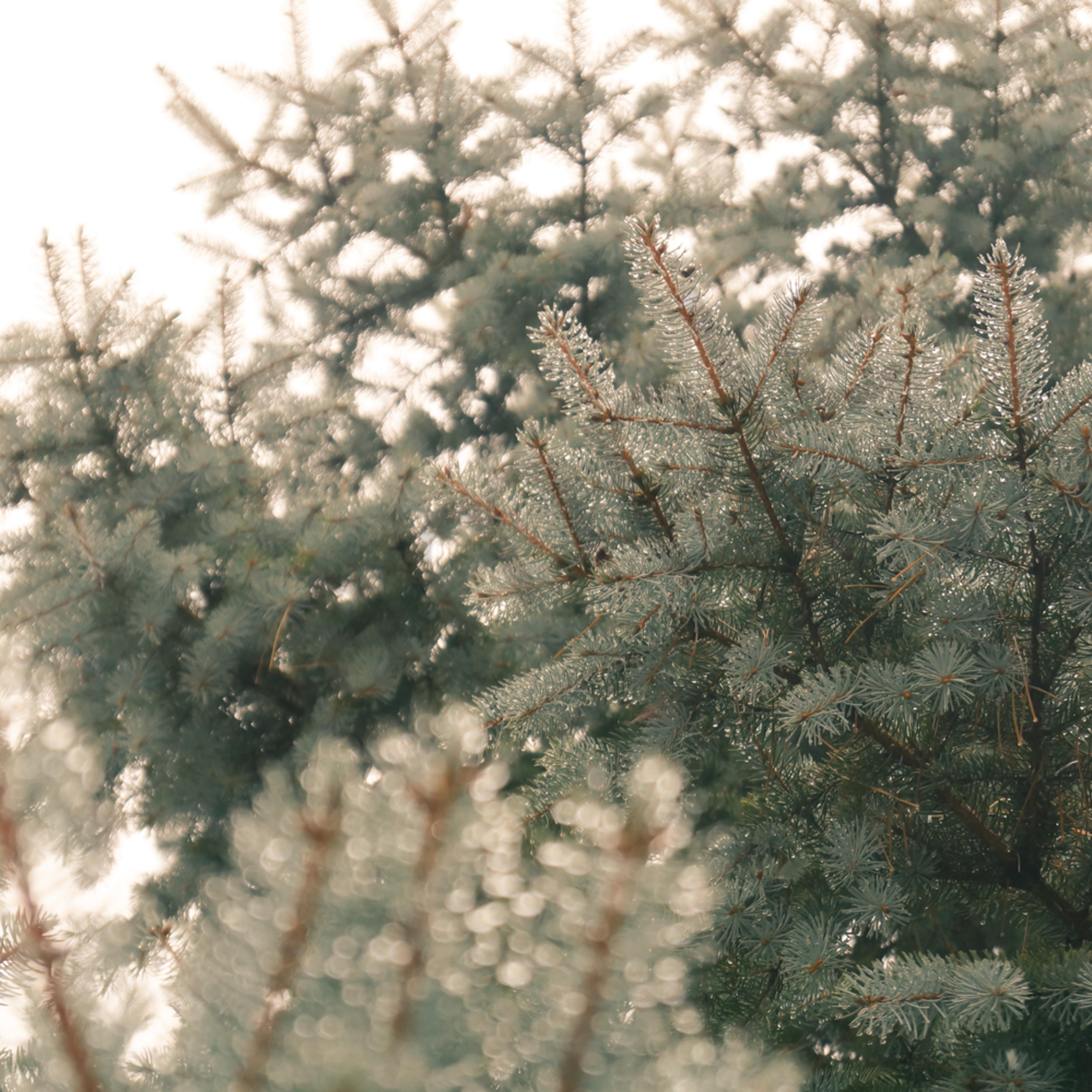 Blue spruce in the fog ziujp4