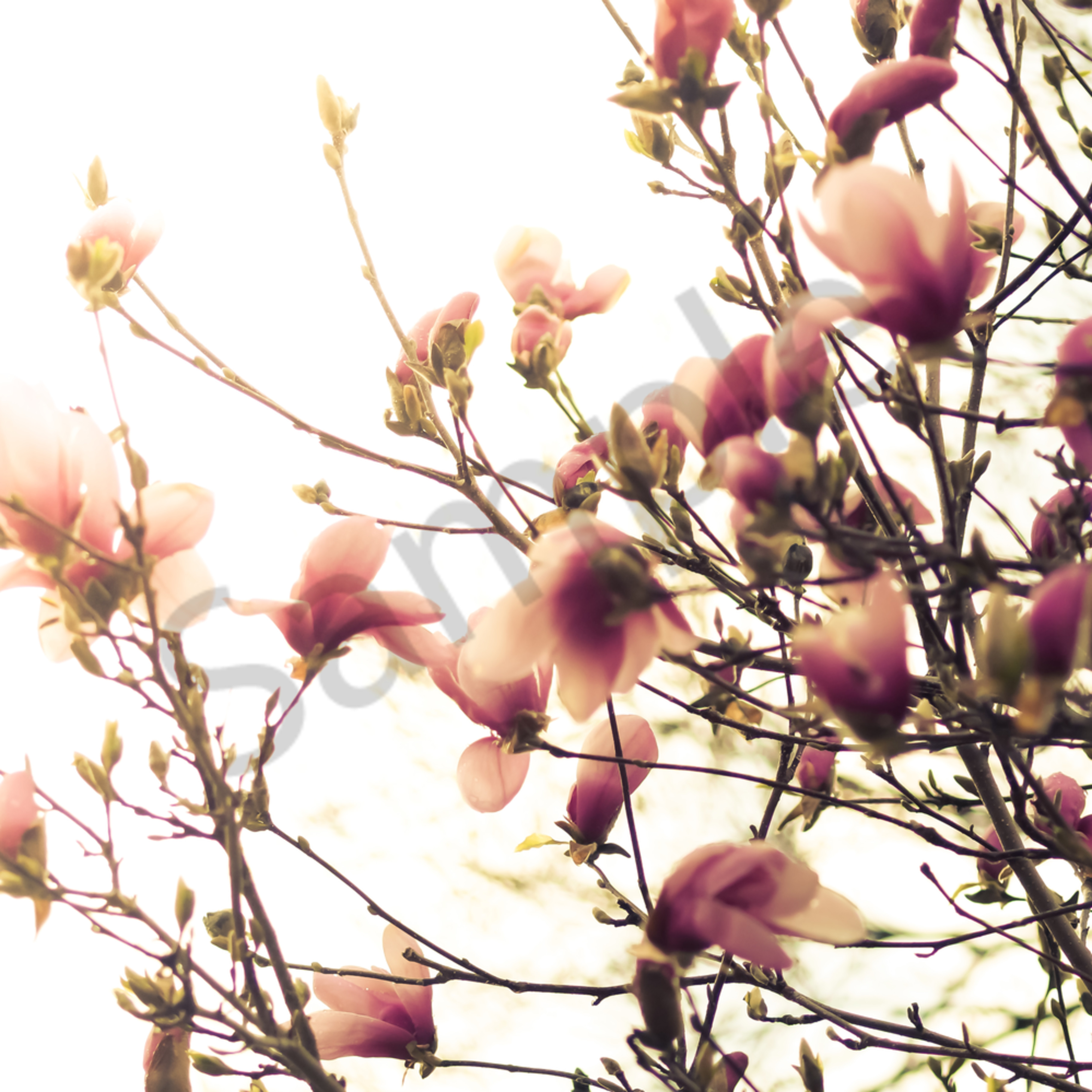 Floral Photograph Of Pink Blossoms On A Magnolia Tree In Spring For Sale As Fine Art By Sage Balm