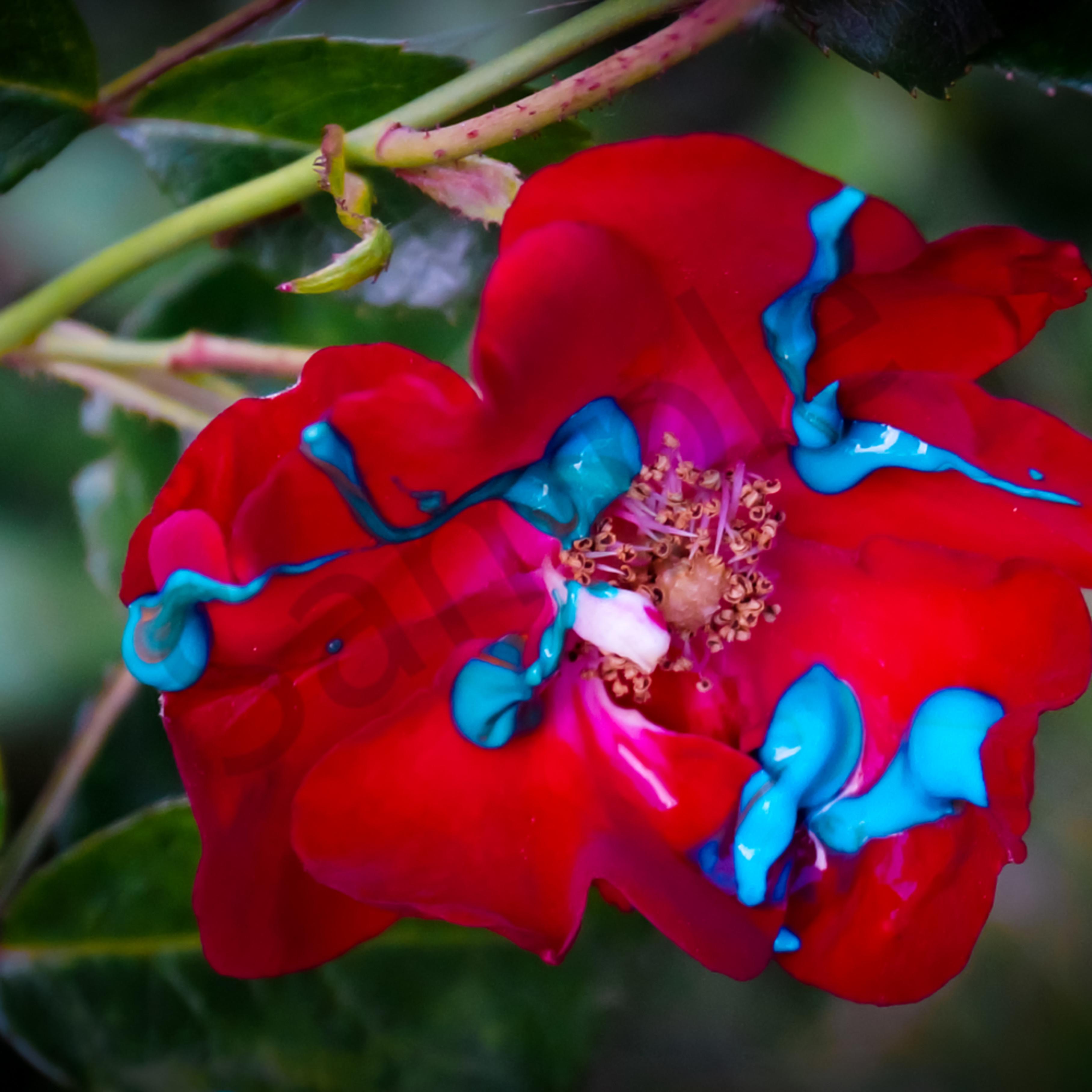 Blue paint red rose ystt9x