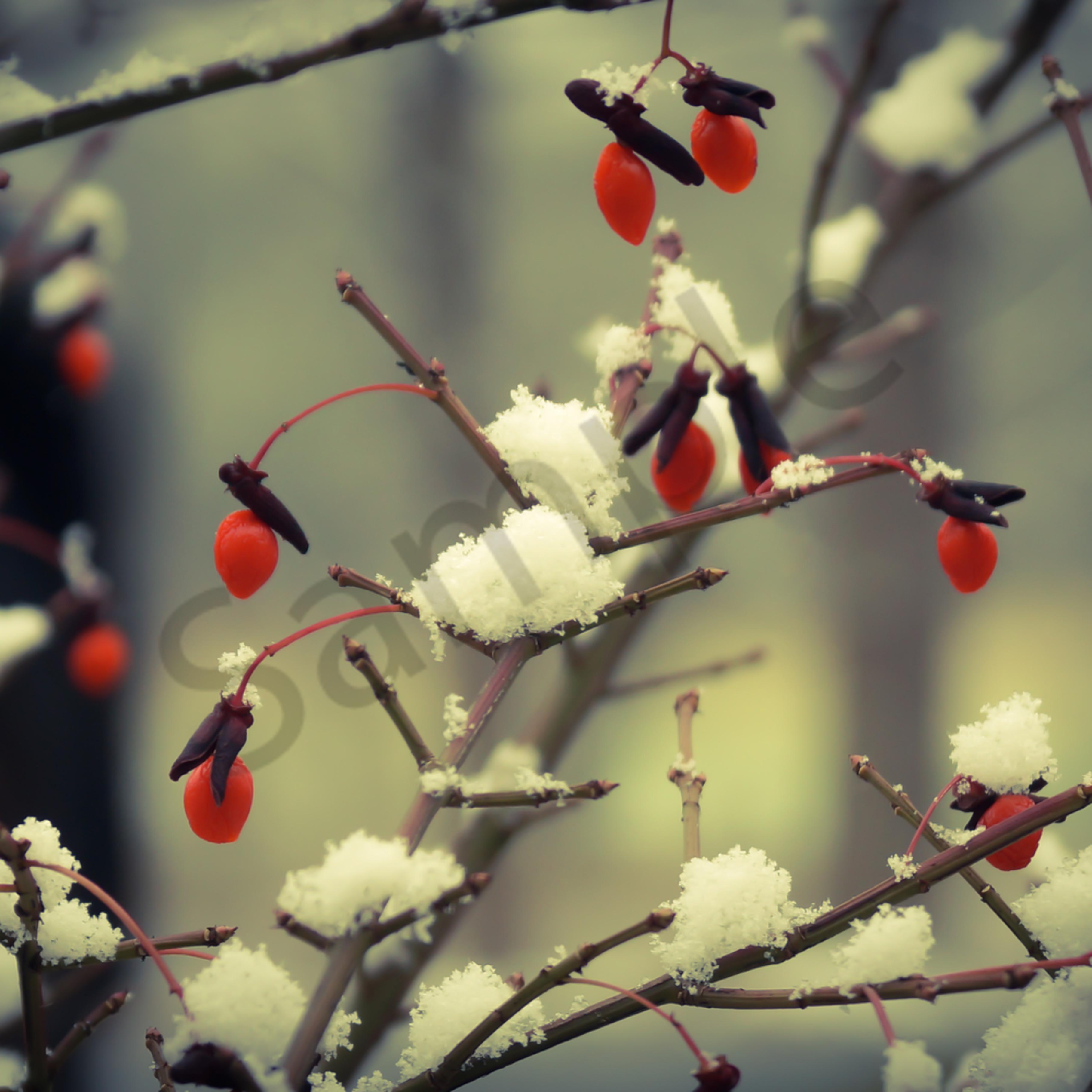 Berries in snow juwhqe