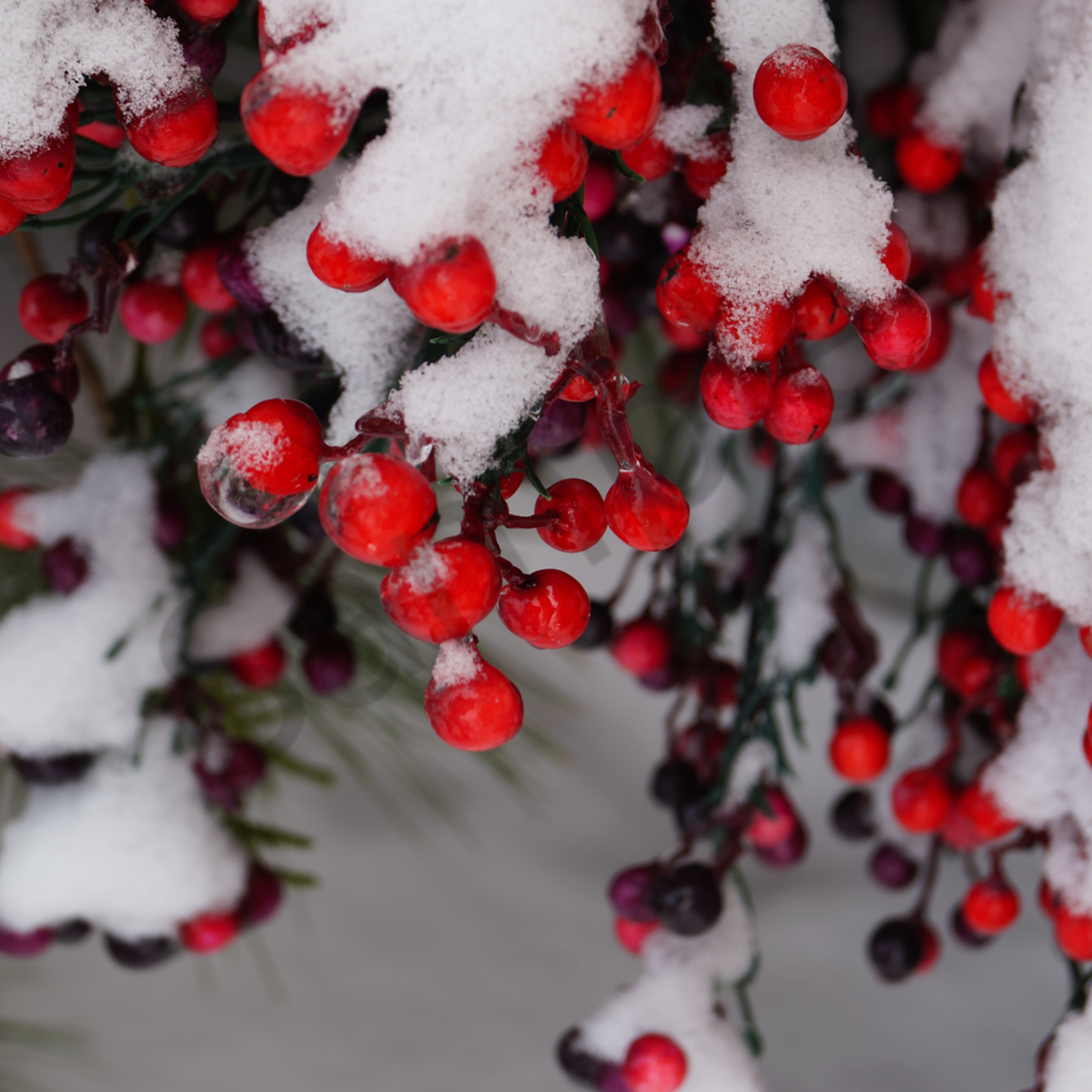 Wintry berries cr88mv