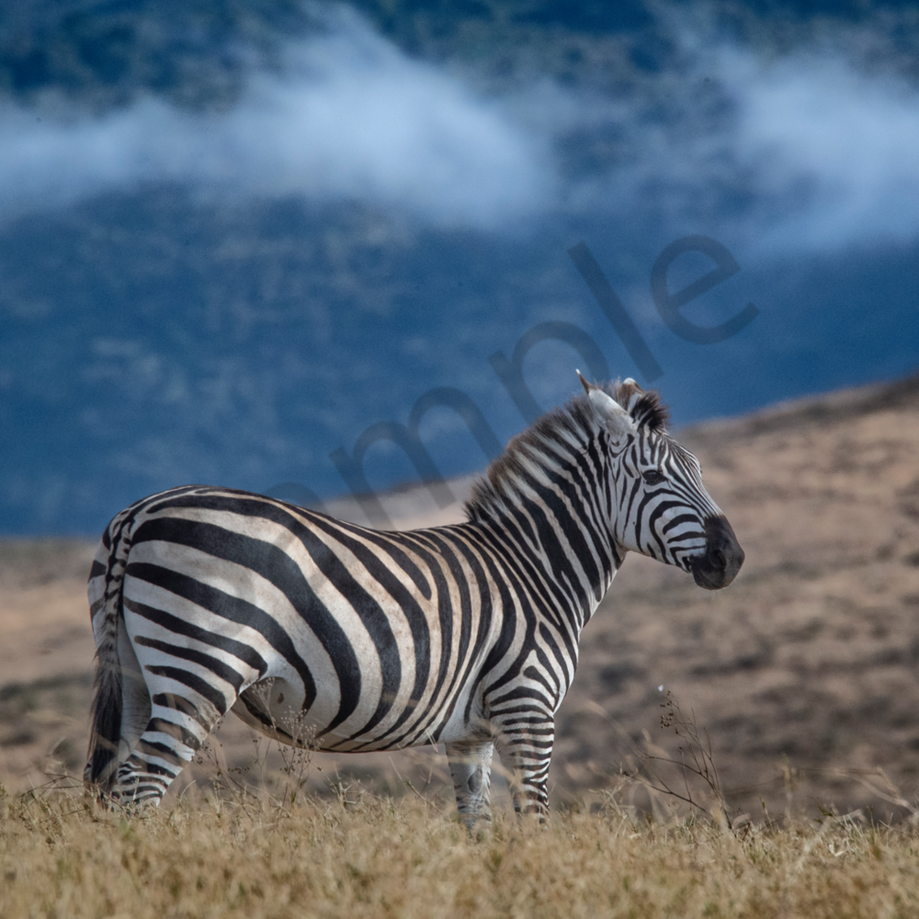 Jps zebra ngorongoro crater bberot