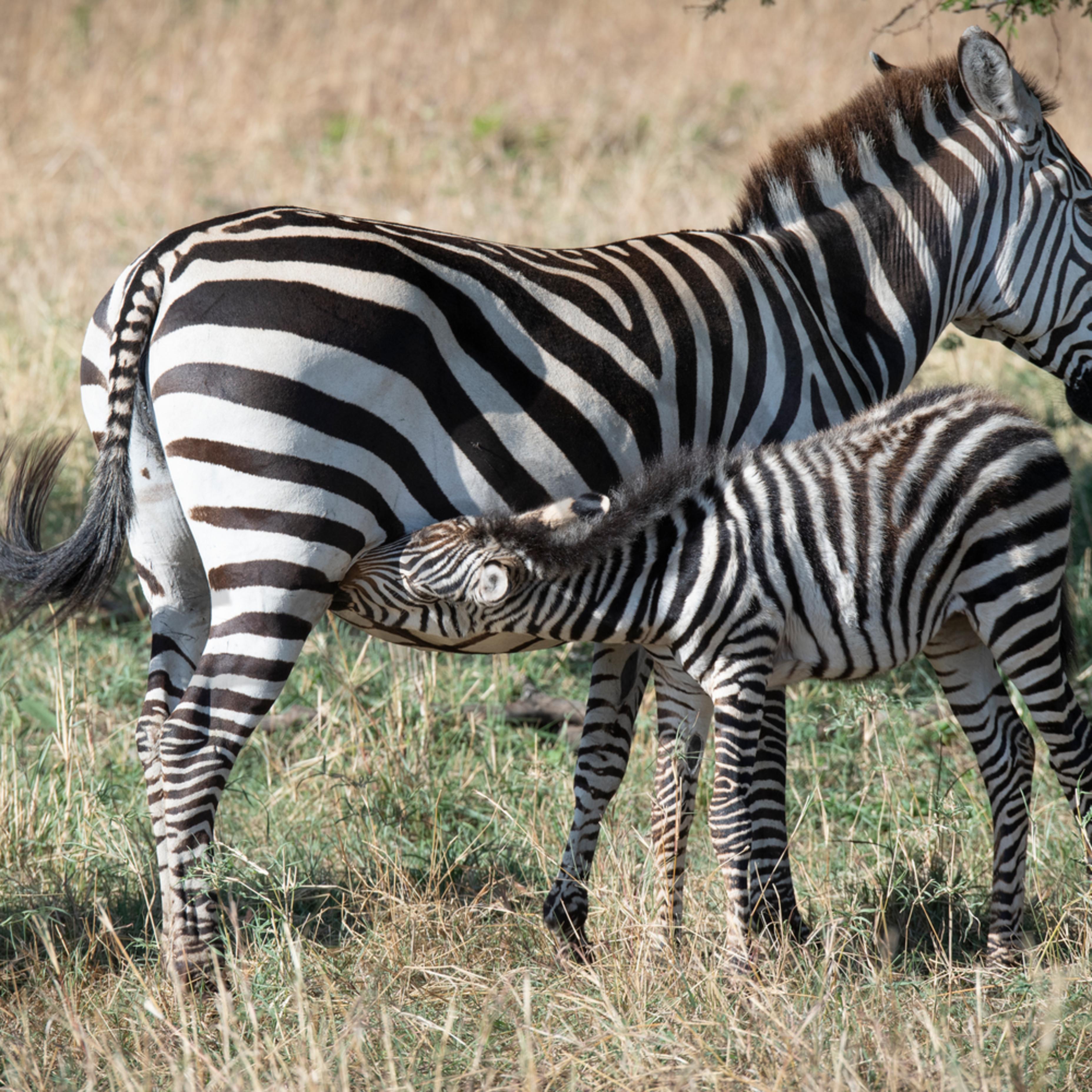 Jps zebra nursing nfkbzf