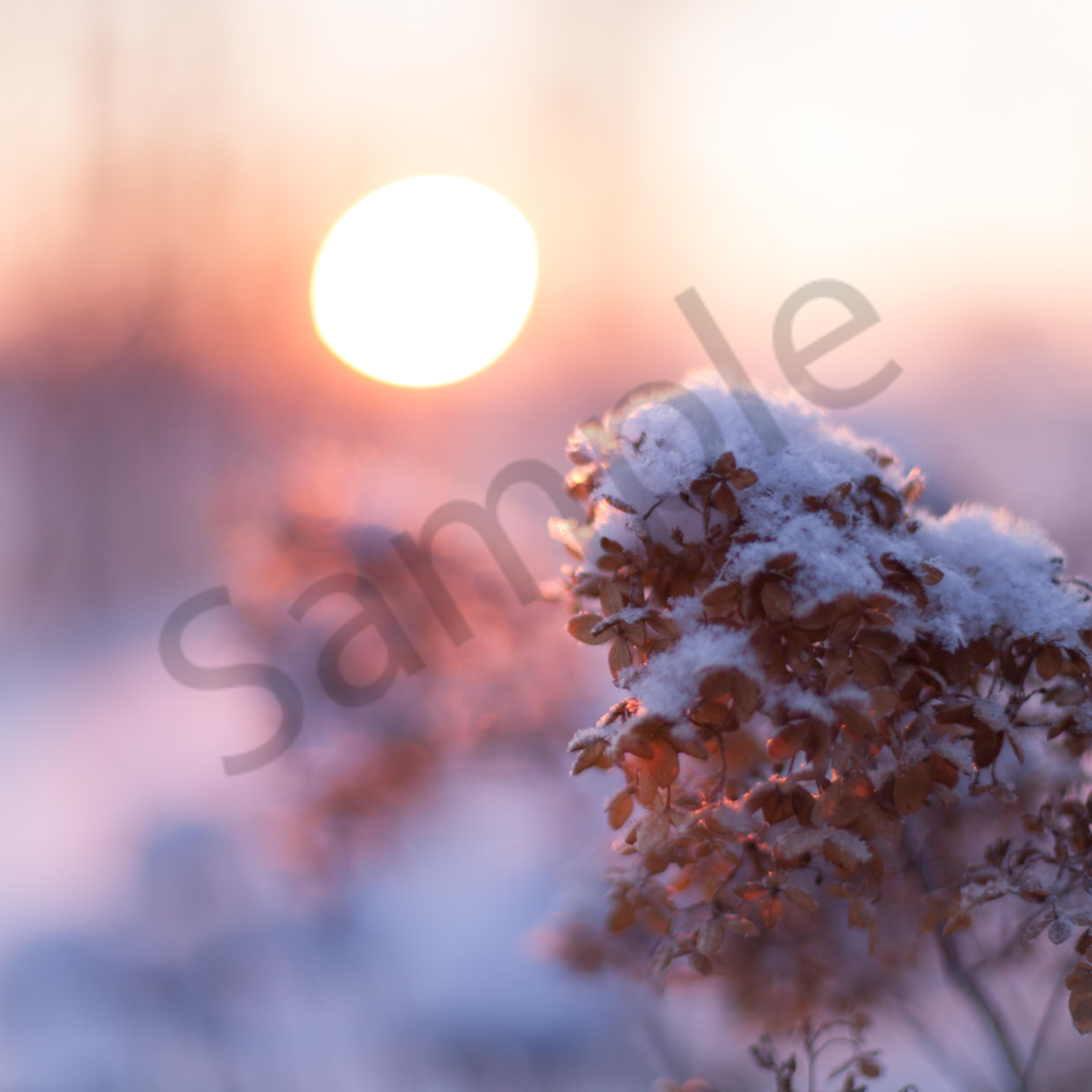 Hydrangeas at sunrise pqgm46