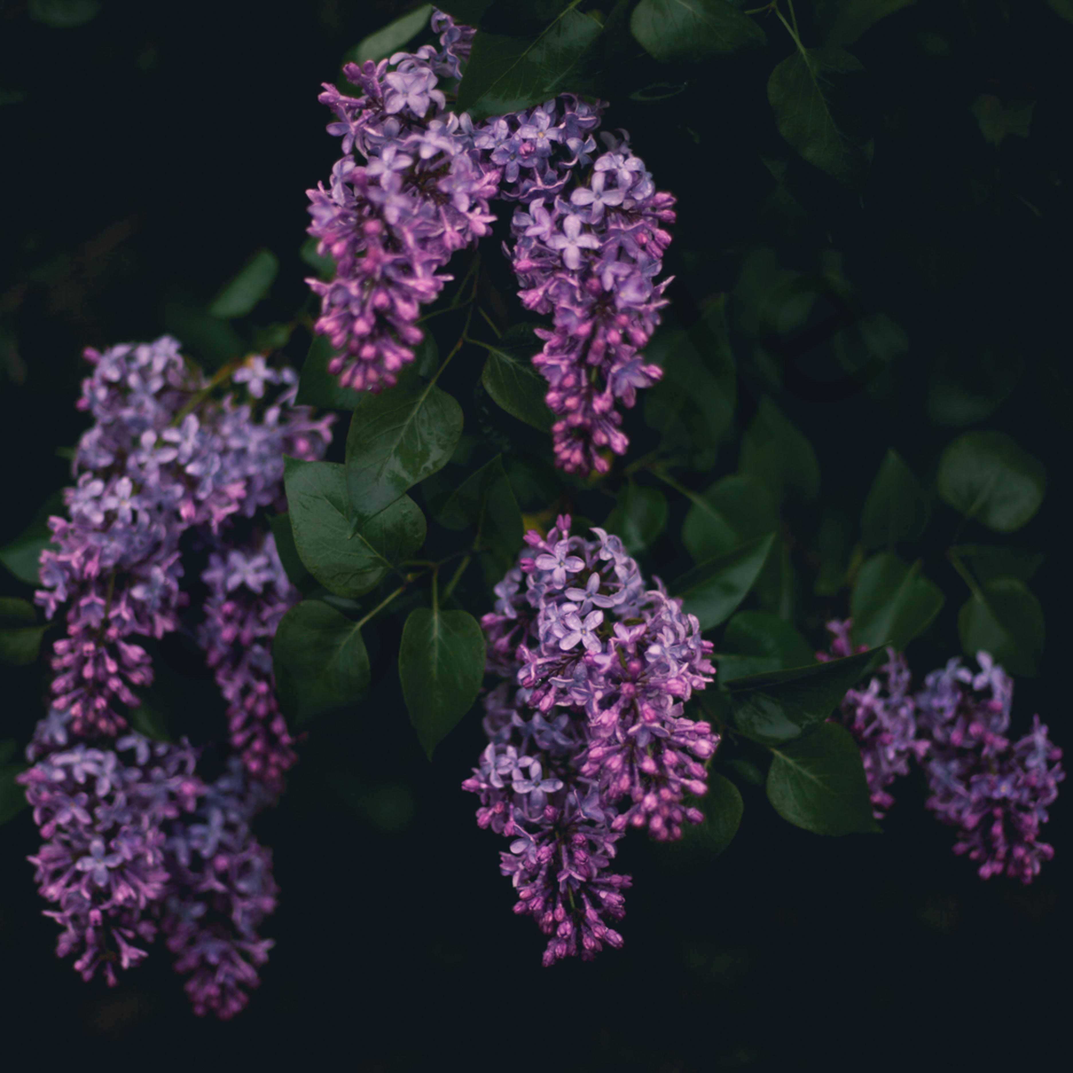 Moody lilacs ug26ge