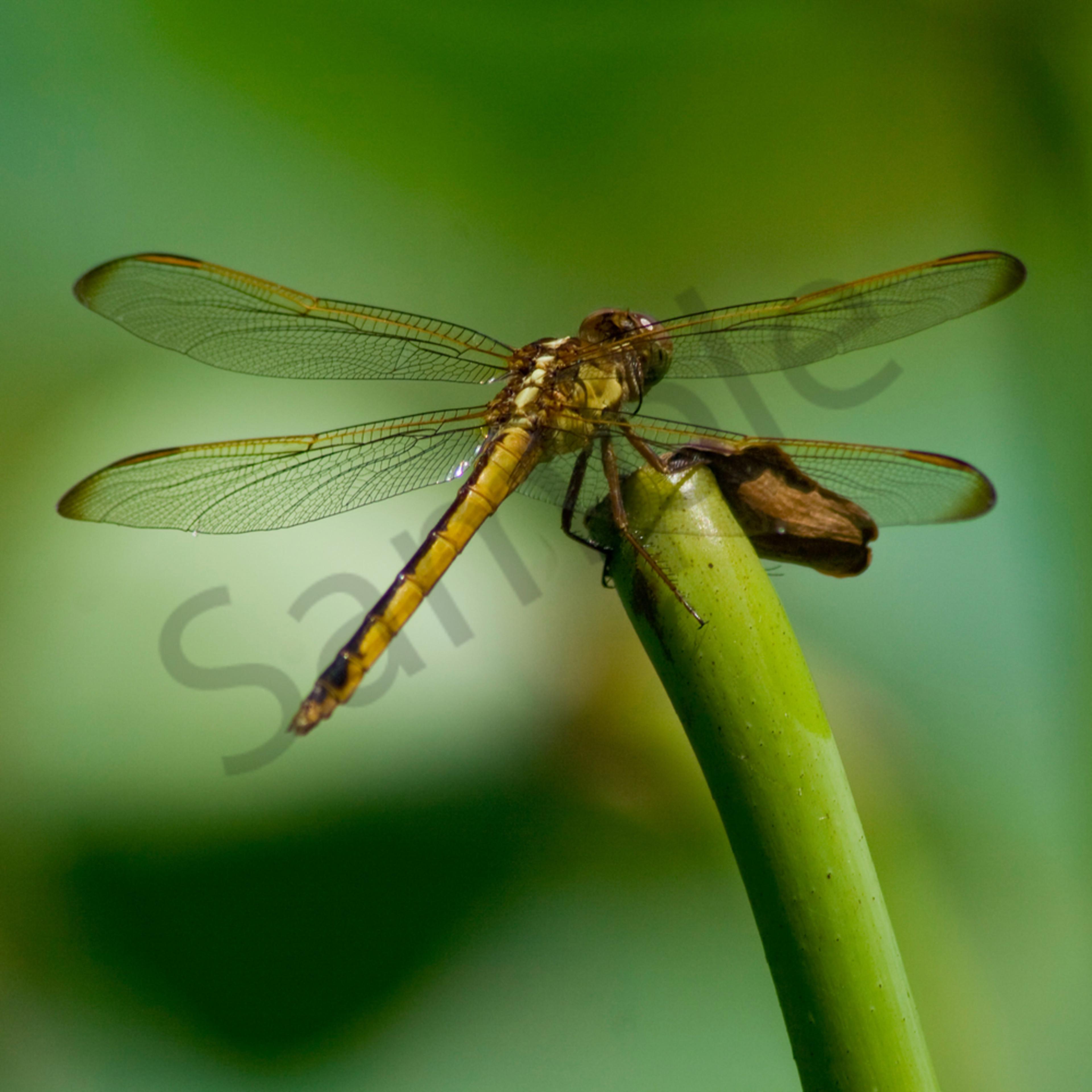 X translucent wings po5b6p