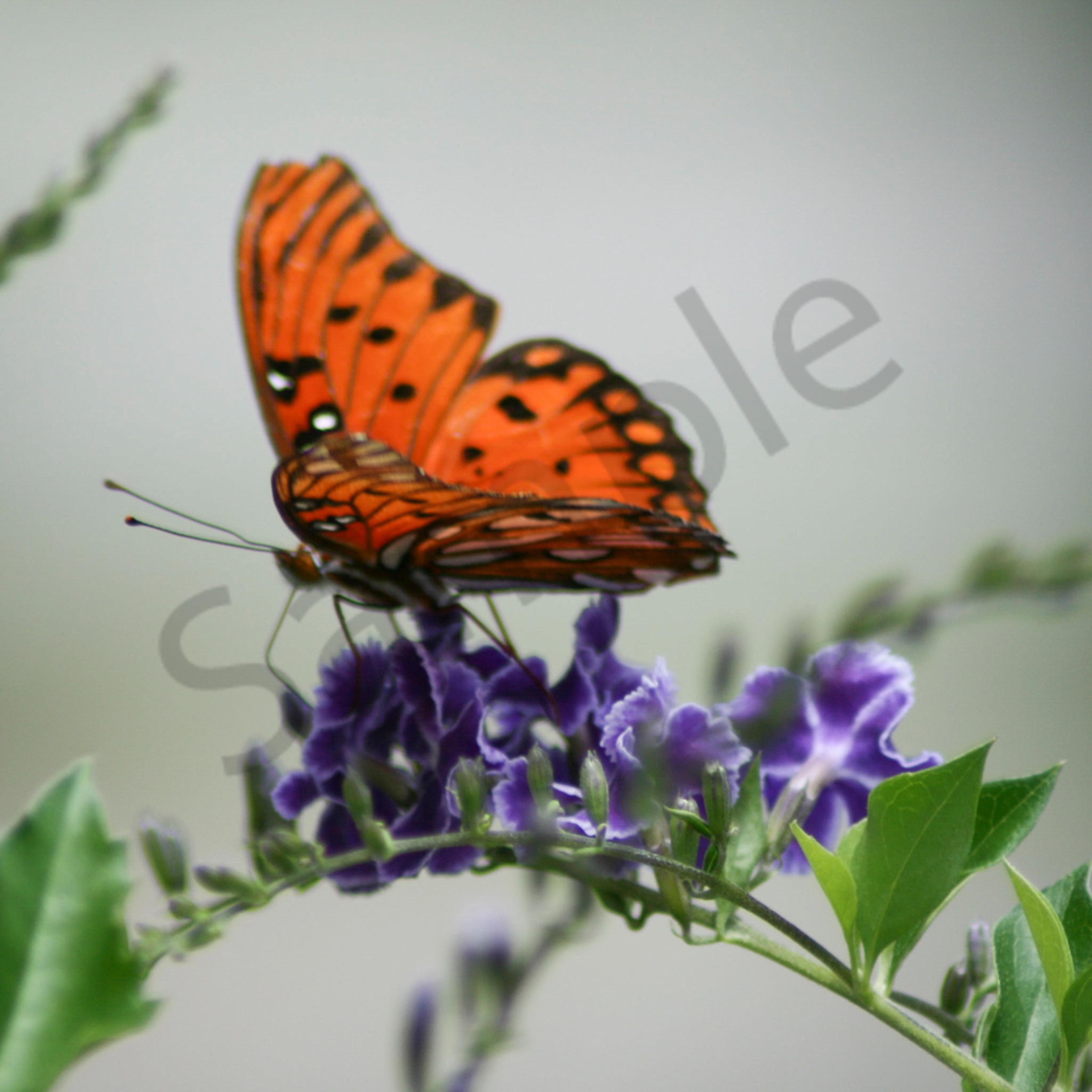 Monarch butterfly xxyiix