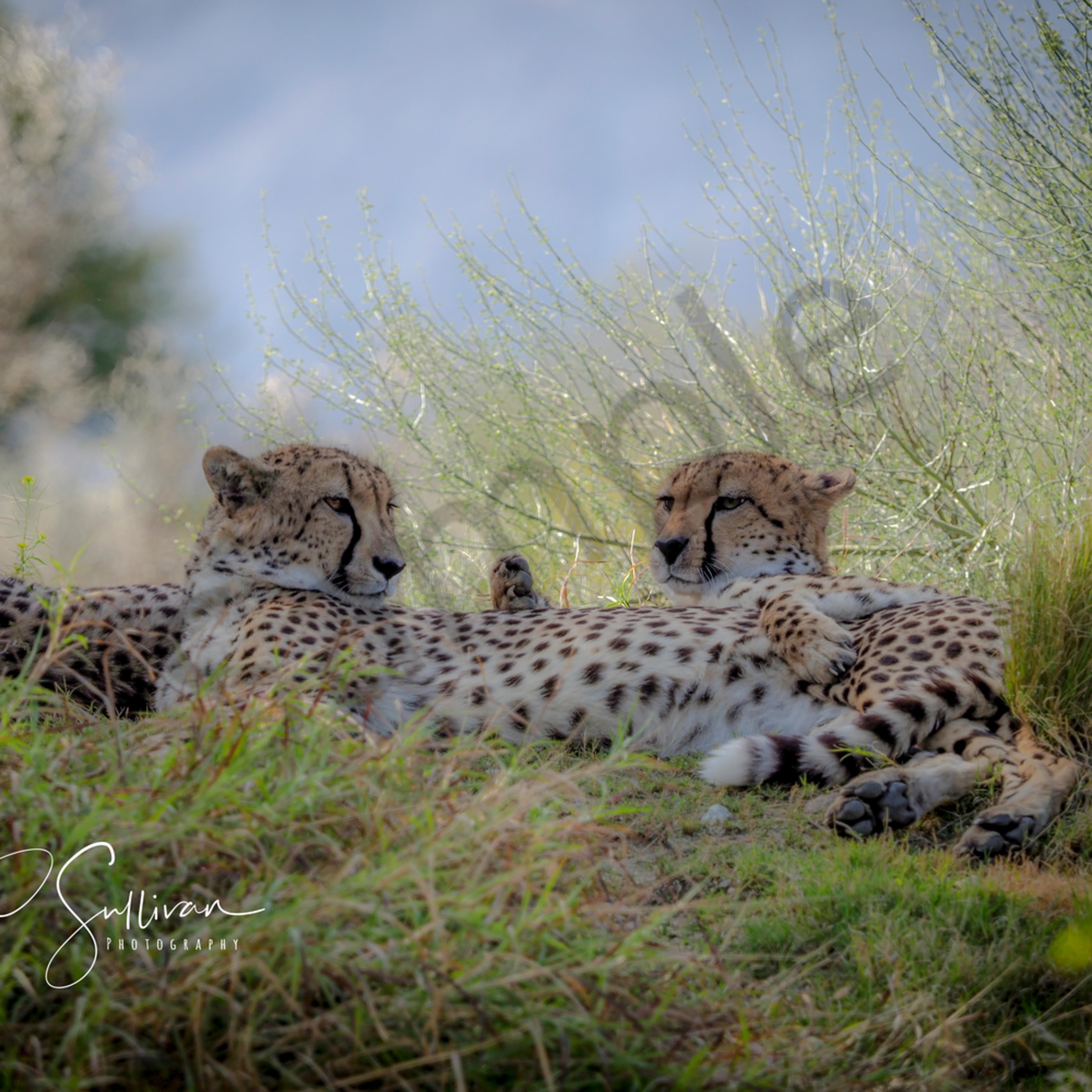Cheetah love 1 of 1 lrdw1u