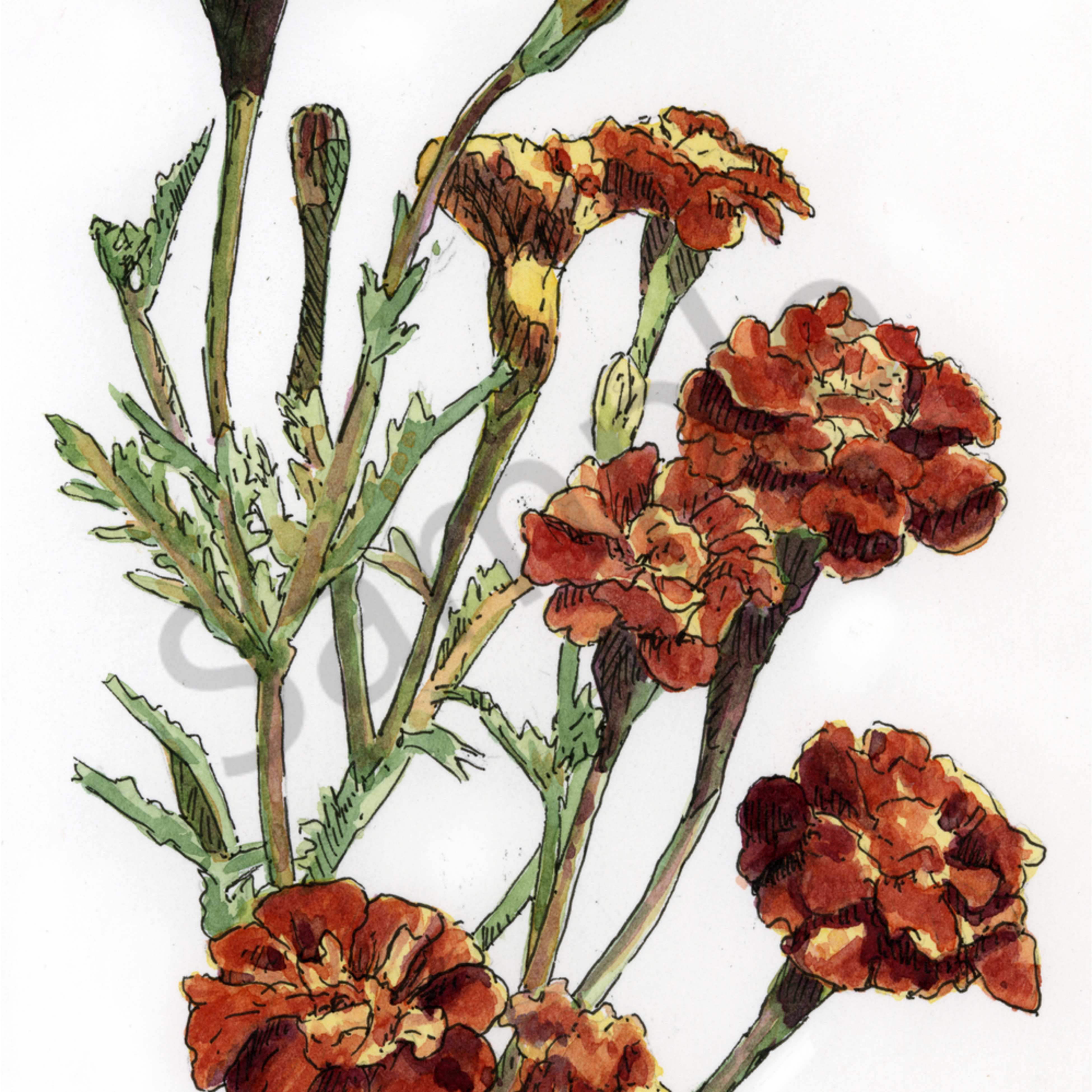 Oct   marigold poxj2g