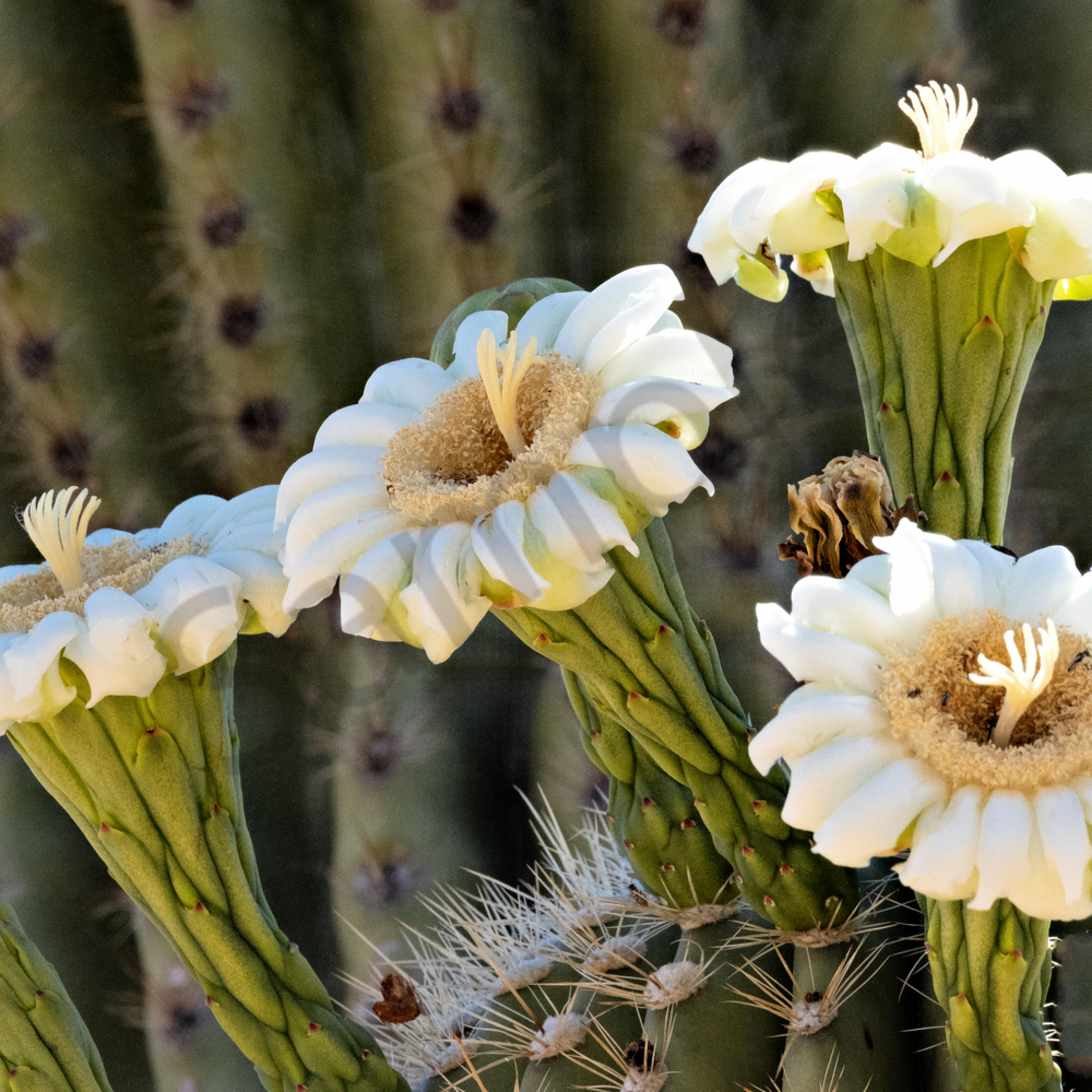 Saguaro in my backyard xwvx0d
