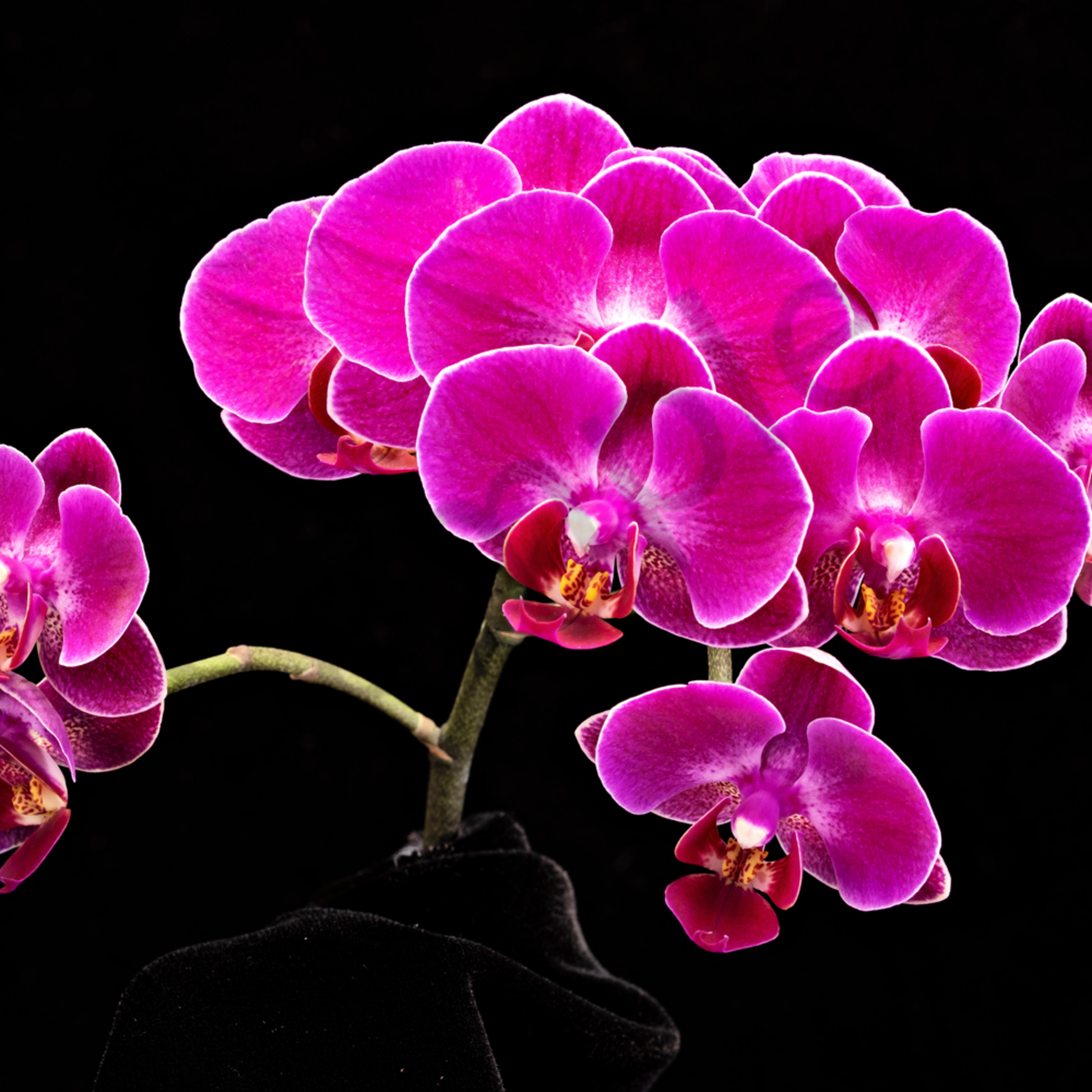 Pinkorchids zsoadw