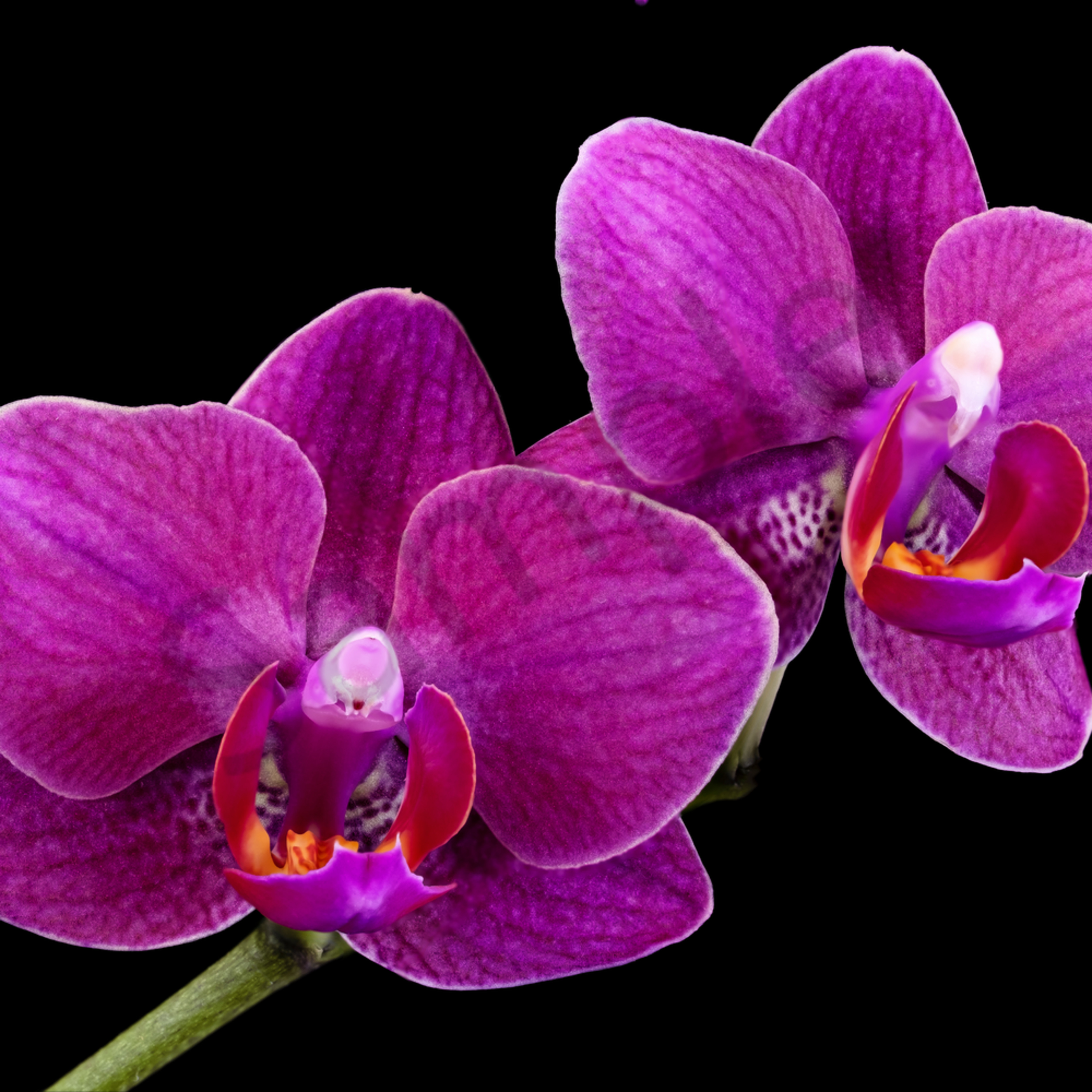 Two purple orchids aggsfj