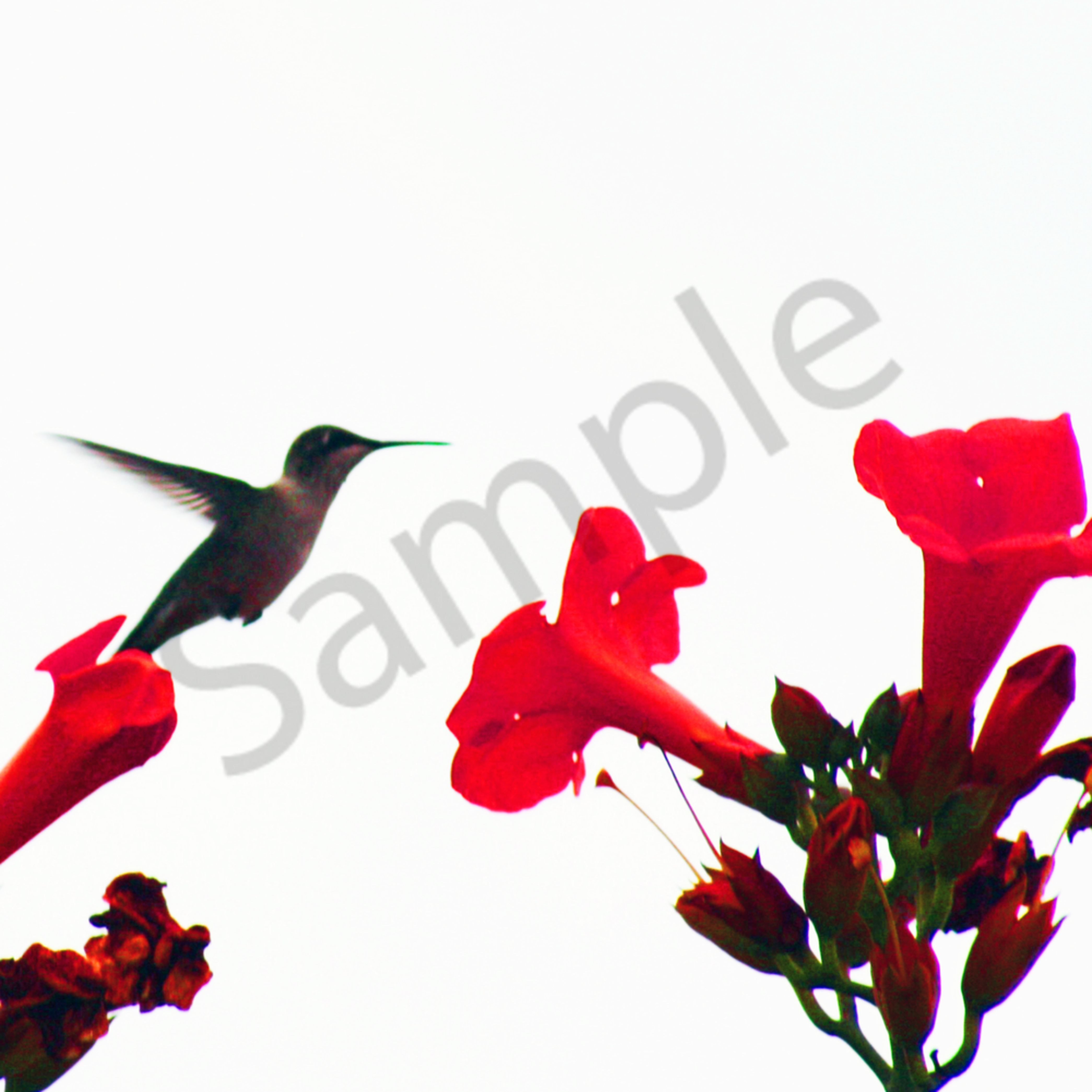 Hummingbirdresized2009 09 07 0016 jda9fl