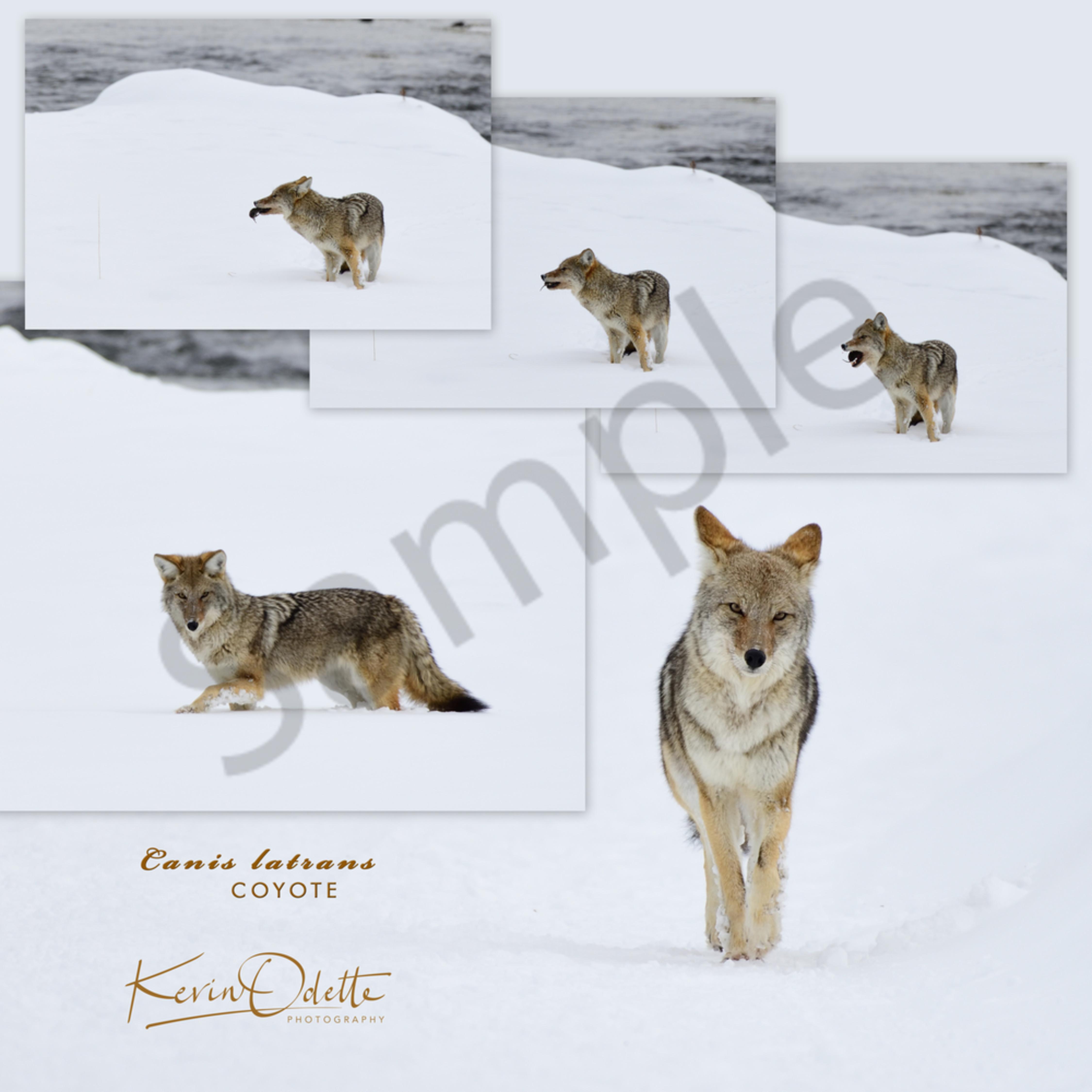 Coyote collage feb 2019 ii gixjme