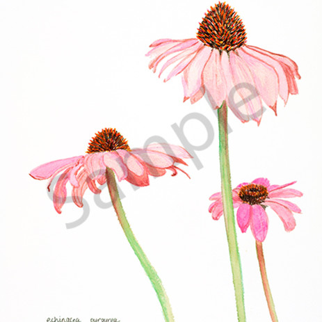 Echinacea purpurea itb0ks