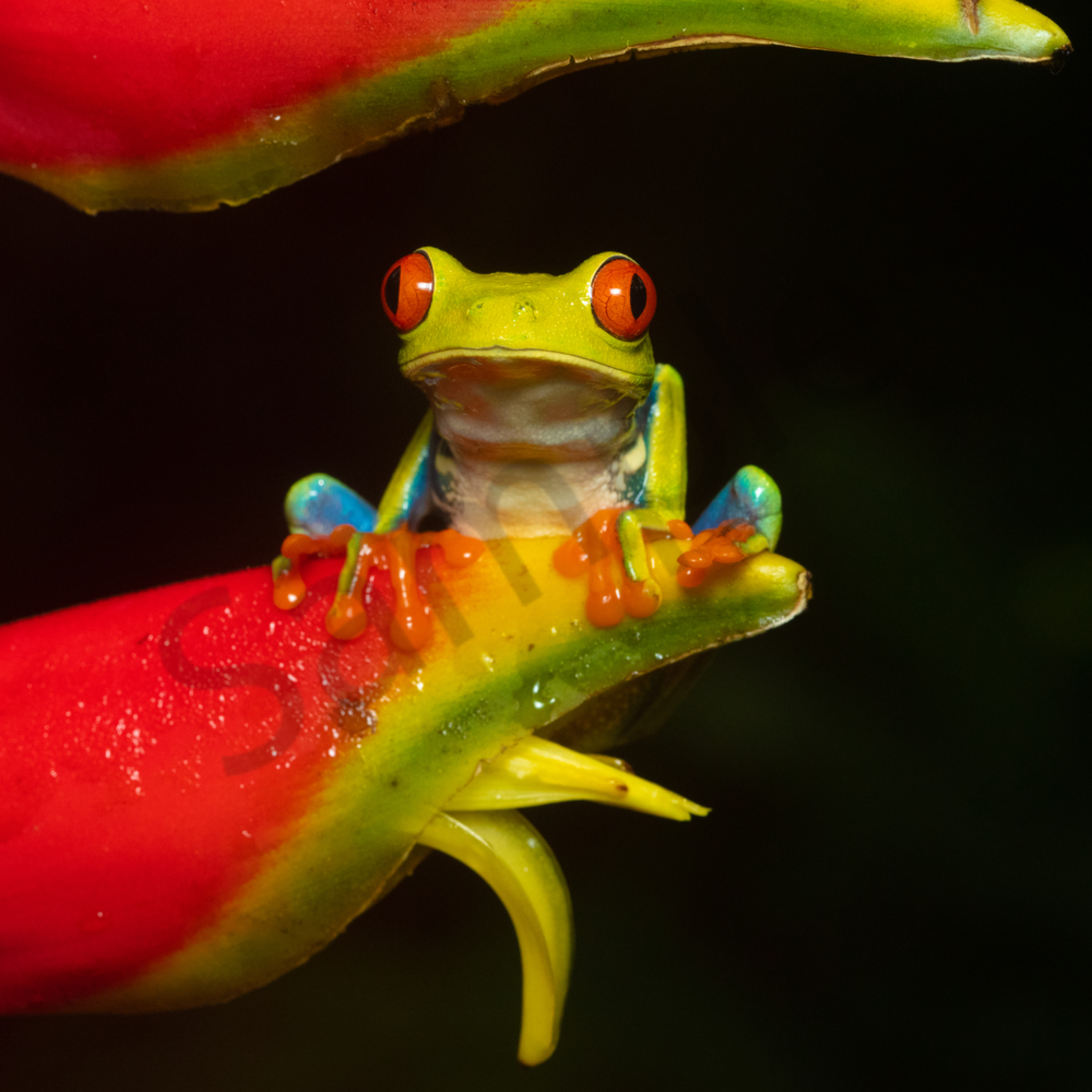 Red eyed tree frog 3 xtdrvu