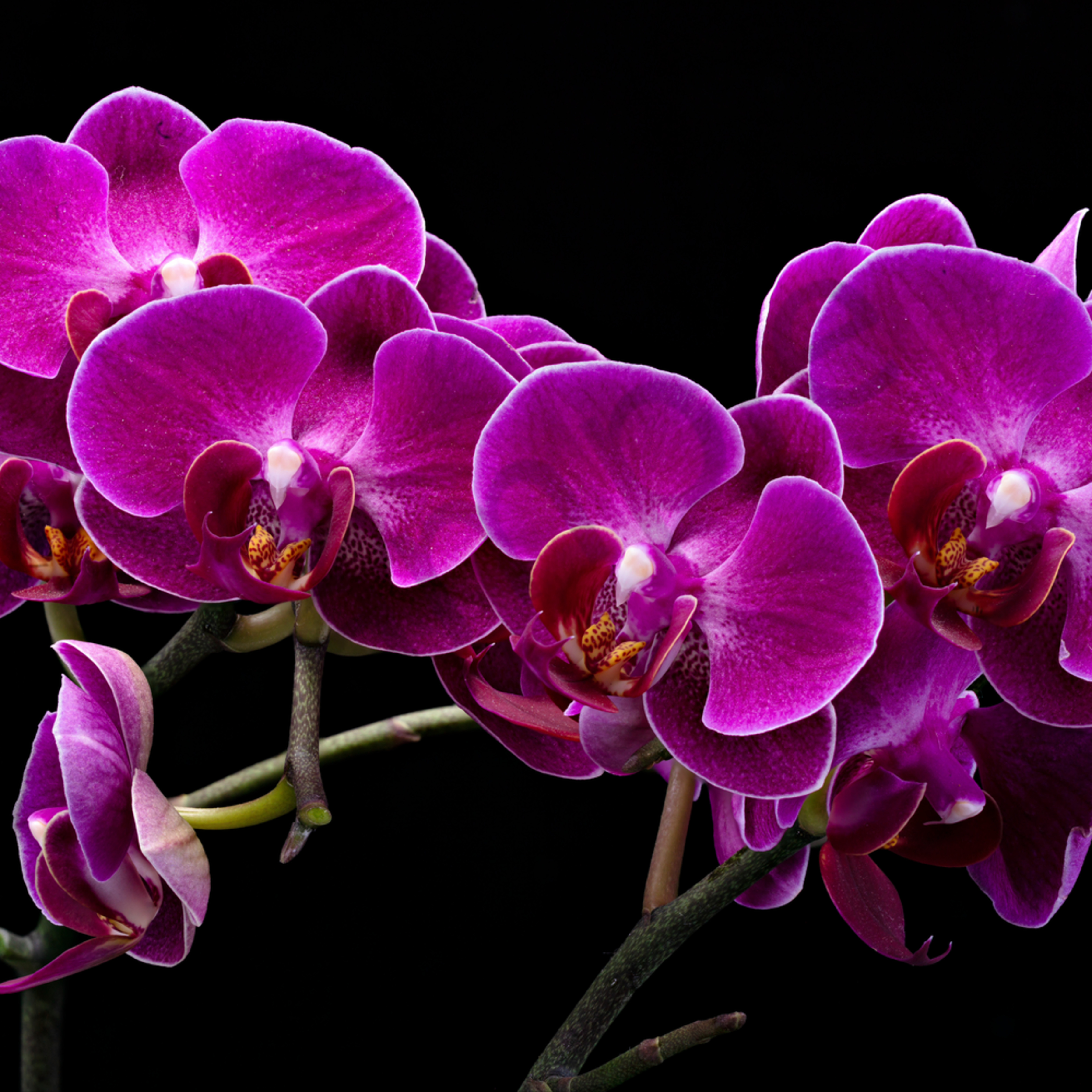 Orchids 1 r1zltx