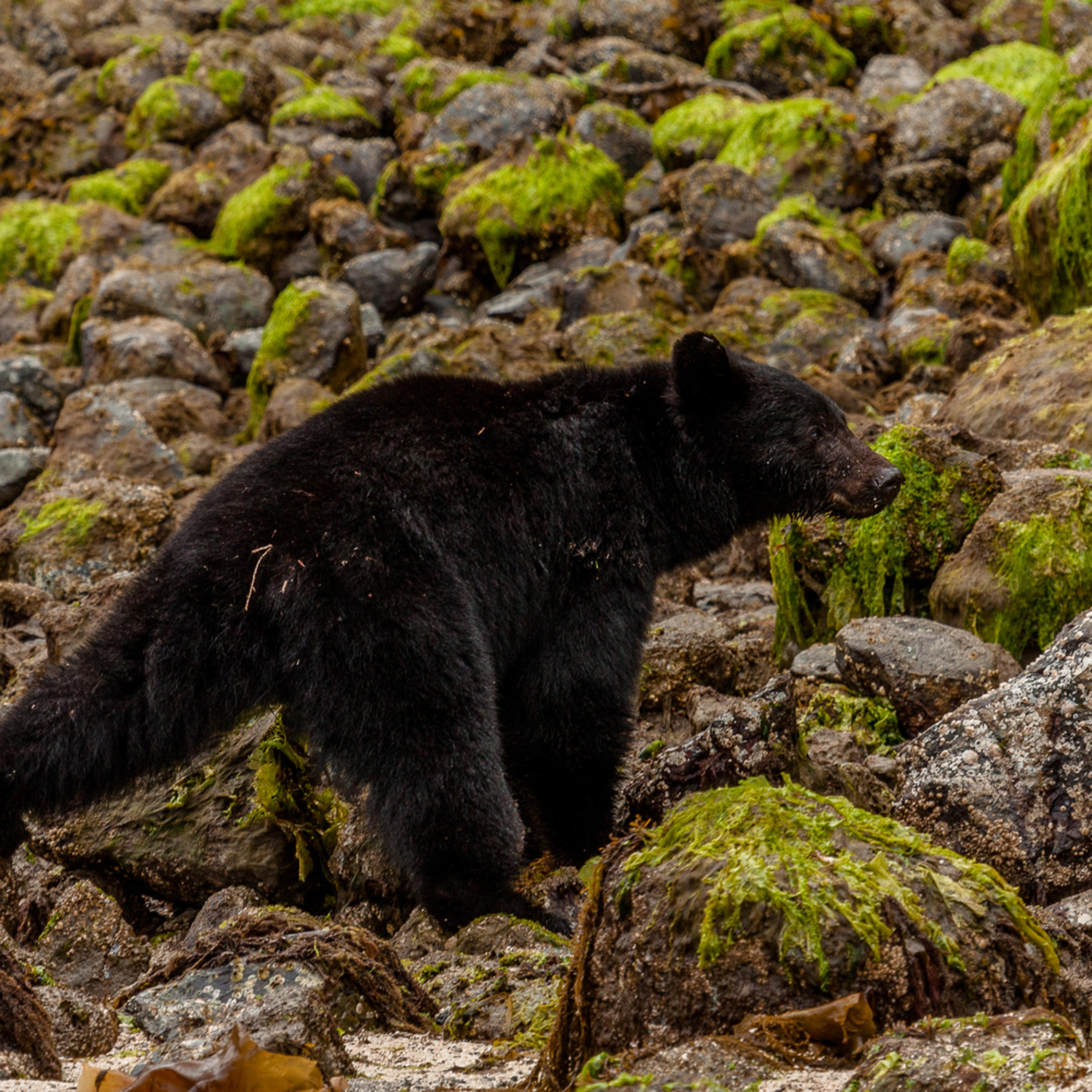 Black bear walk vbhqdz