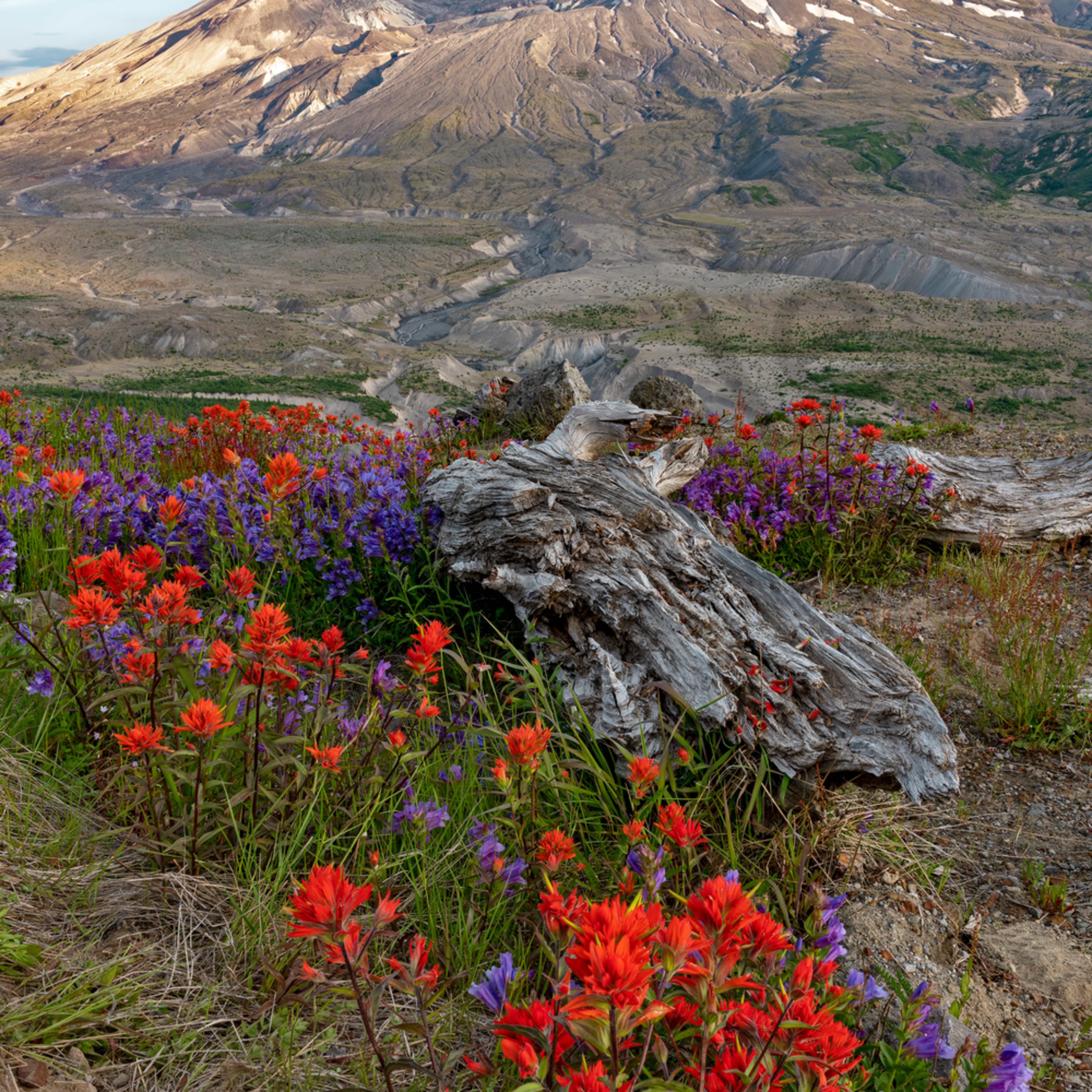 Observatory and flowers iii vertical at mount st. helens wa nhu8es