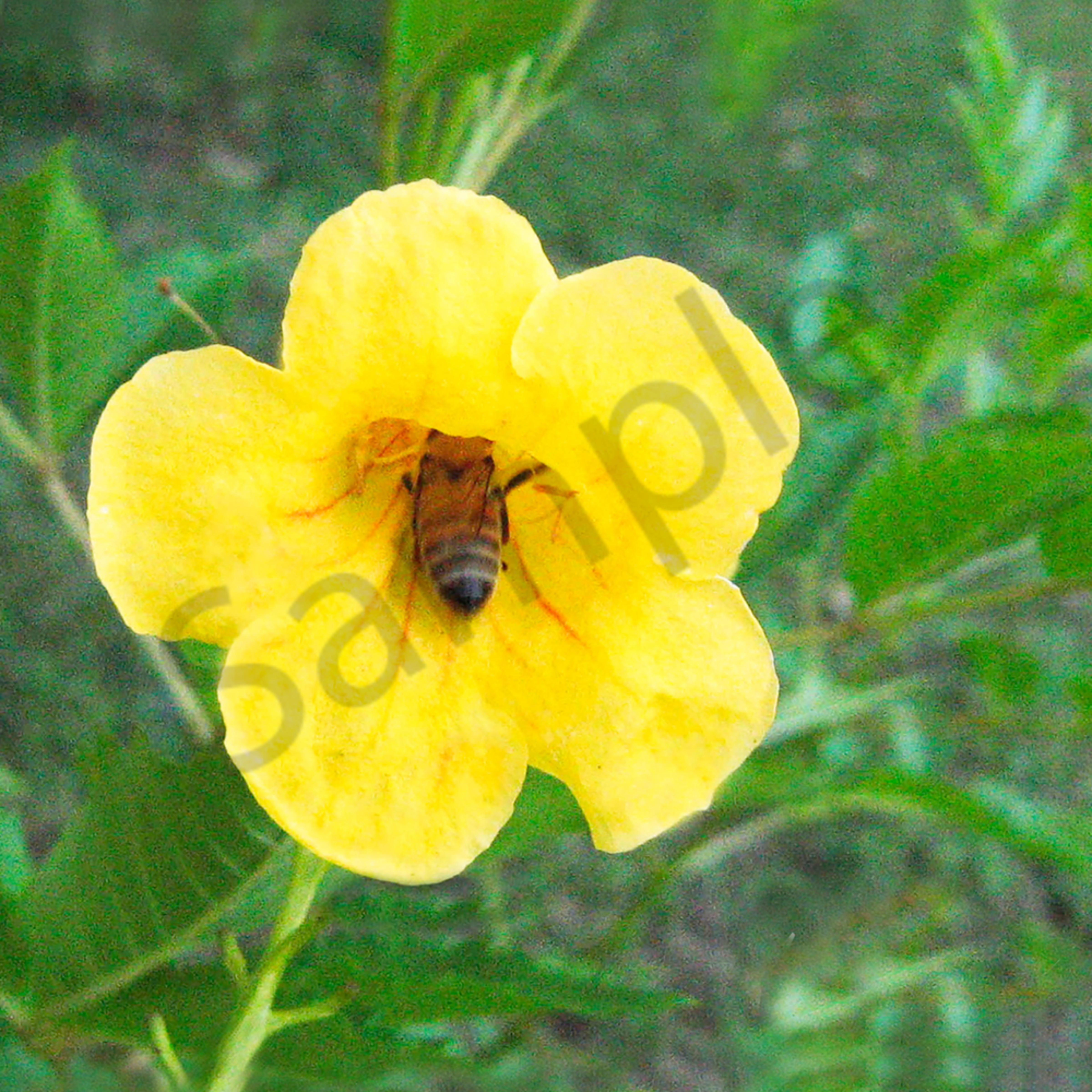 Bee in flower ttqyjl
