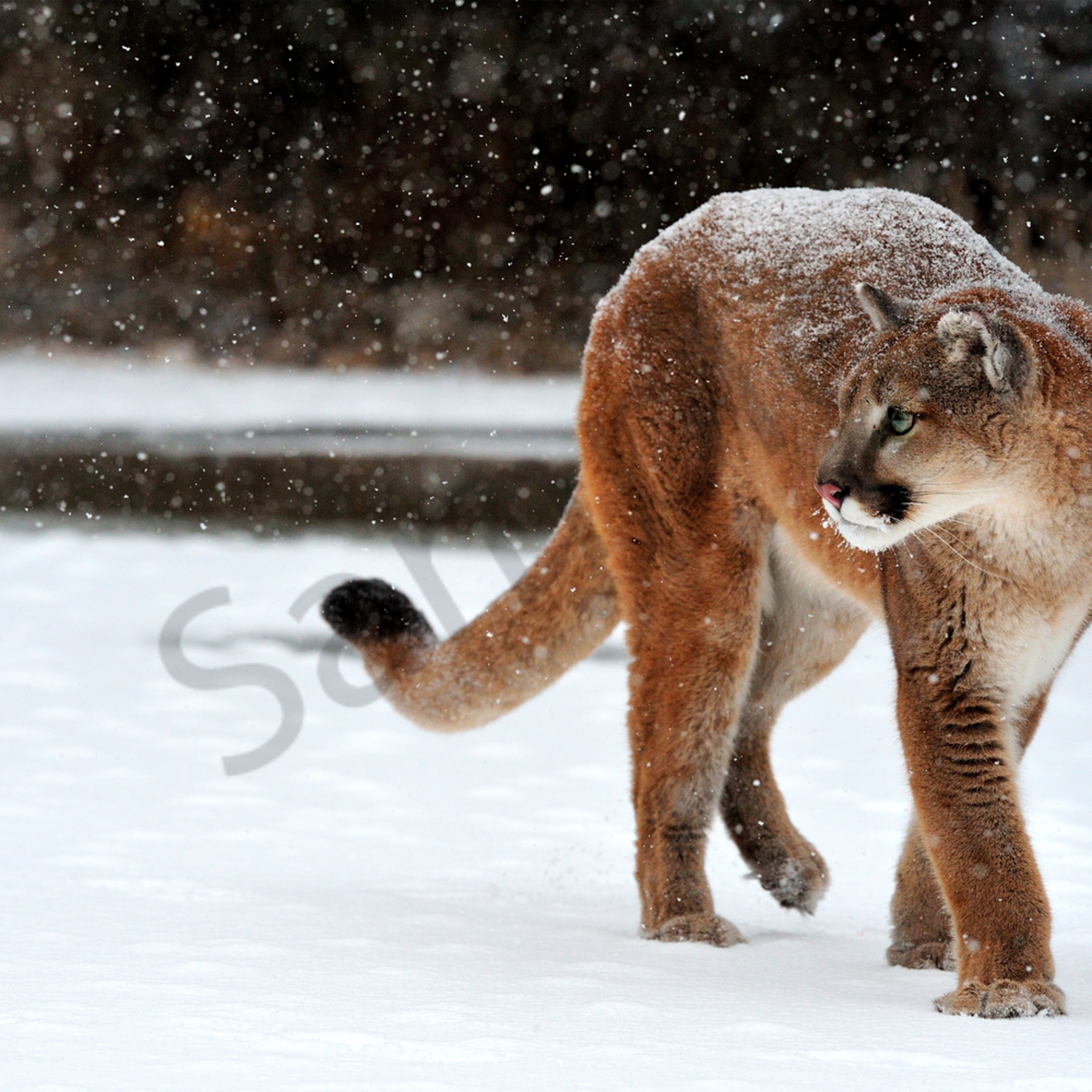 Cougar in snow xntb00