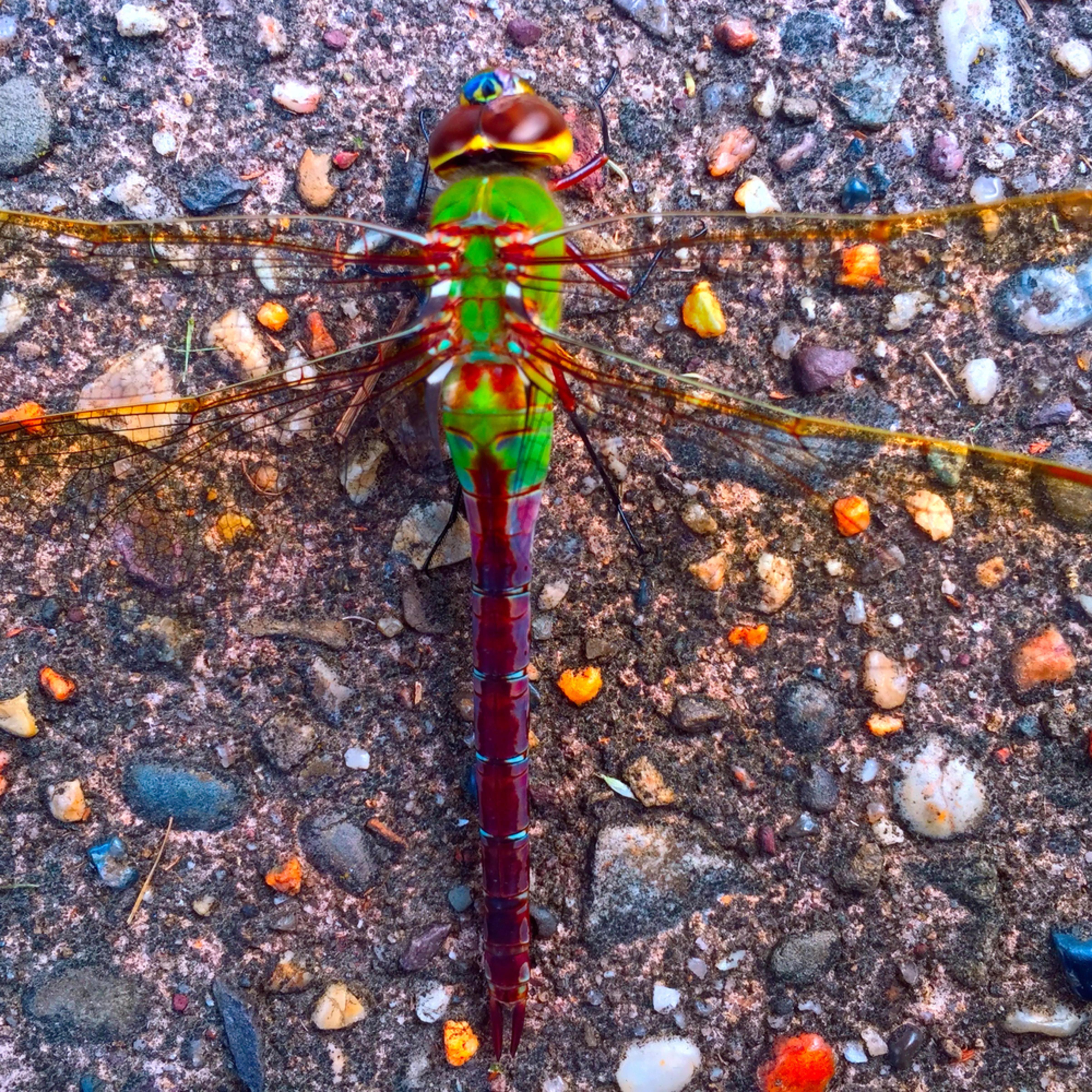 Dragonfly on sidewalk a3olot