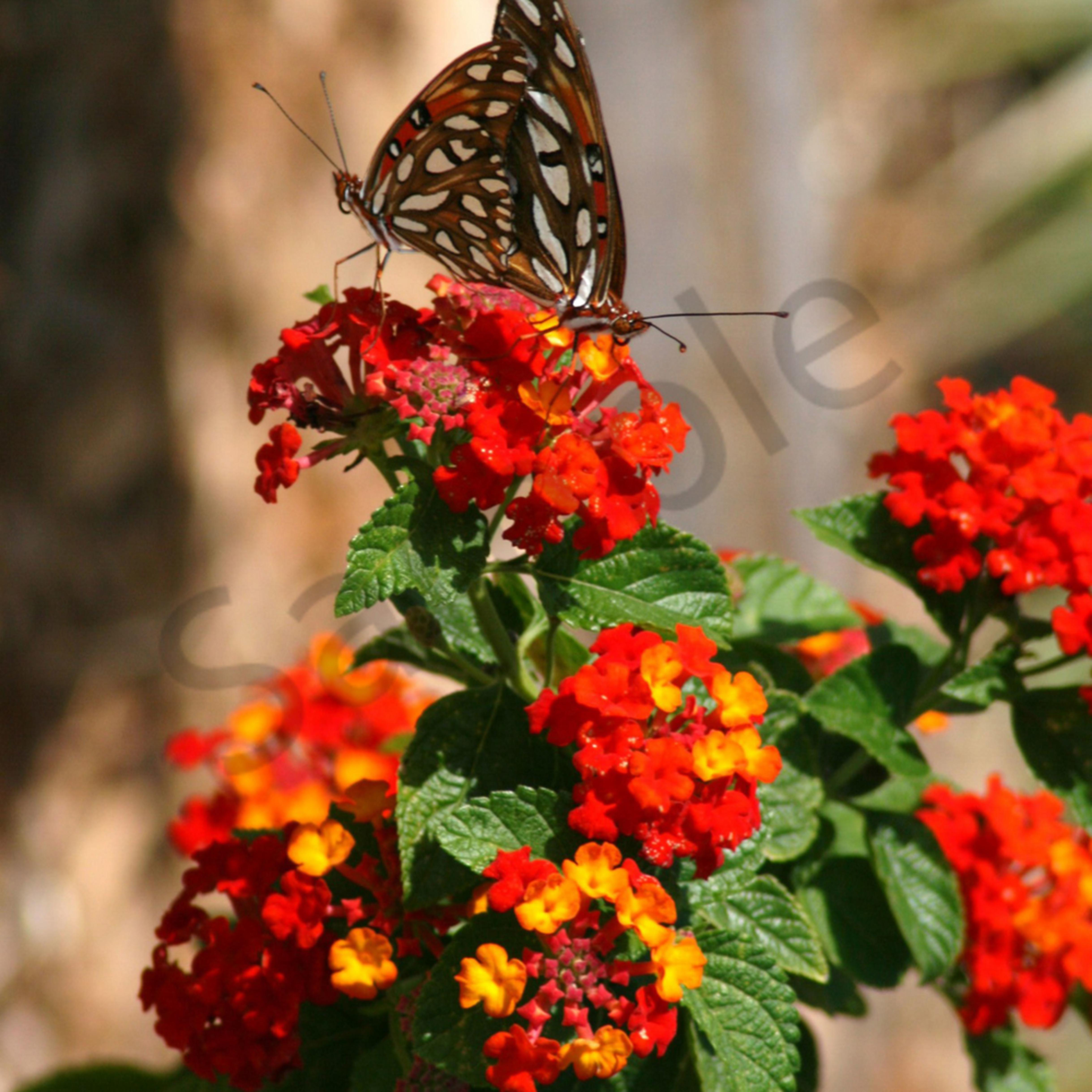 Butterfly duet ncqha6
