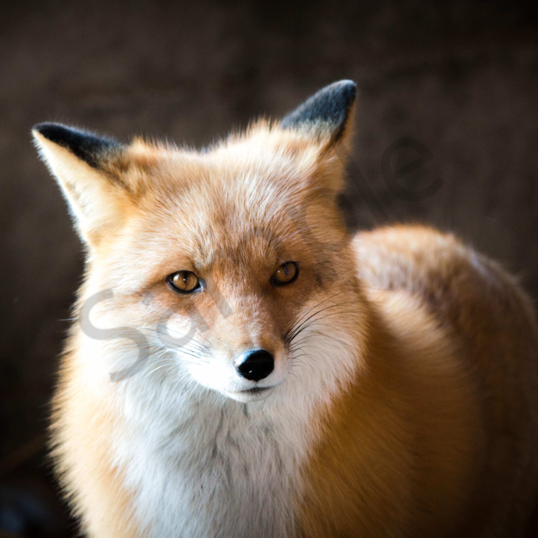 Foxy qxzoqf