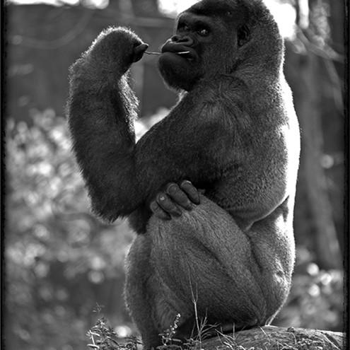 Gorilla don t 11x14 j6mzpf