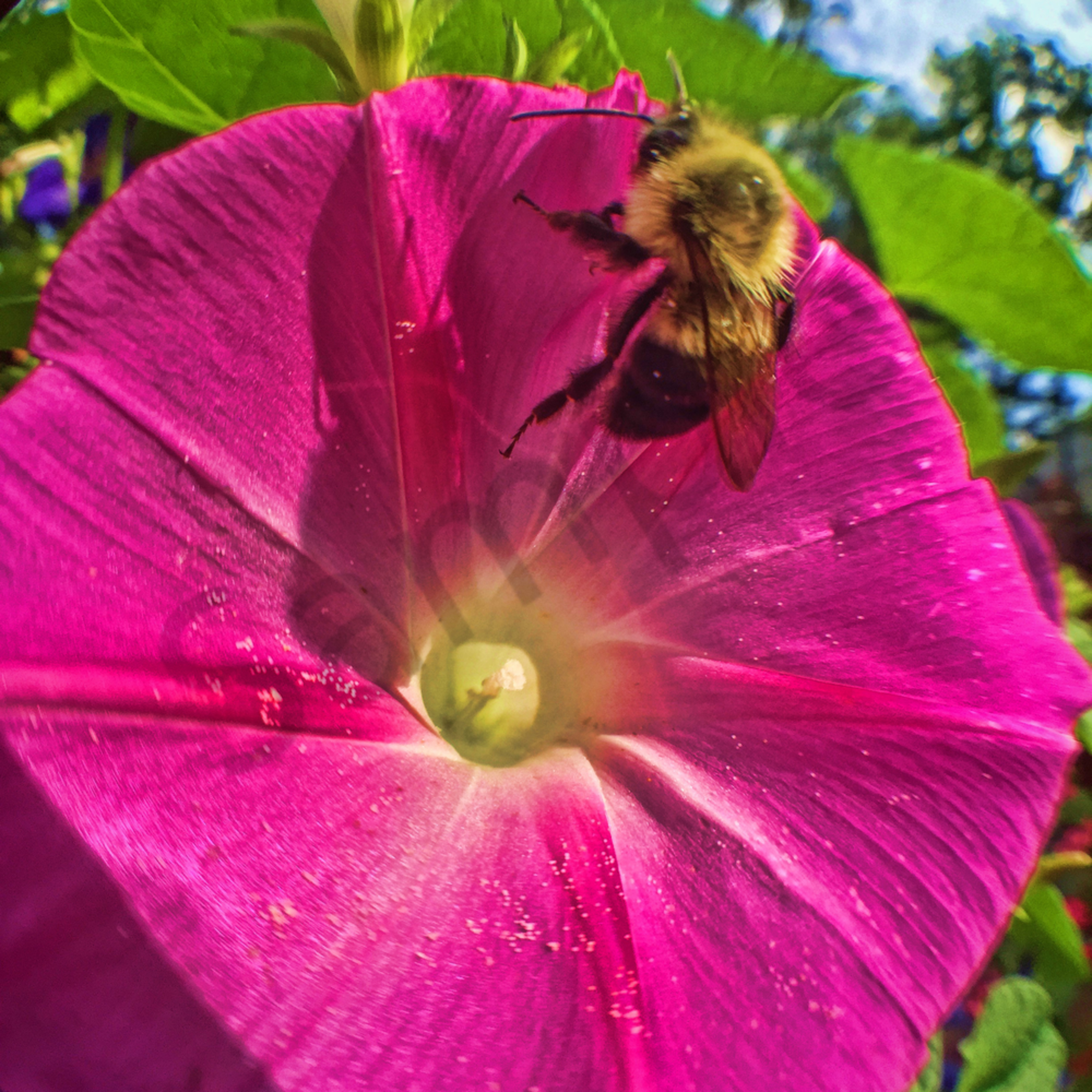 Bumblebee on morning glory website rnmkjb