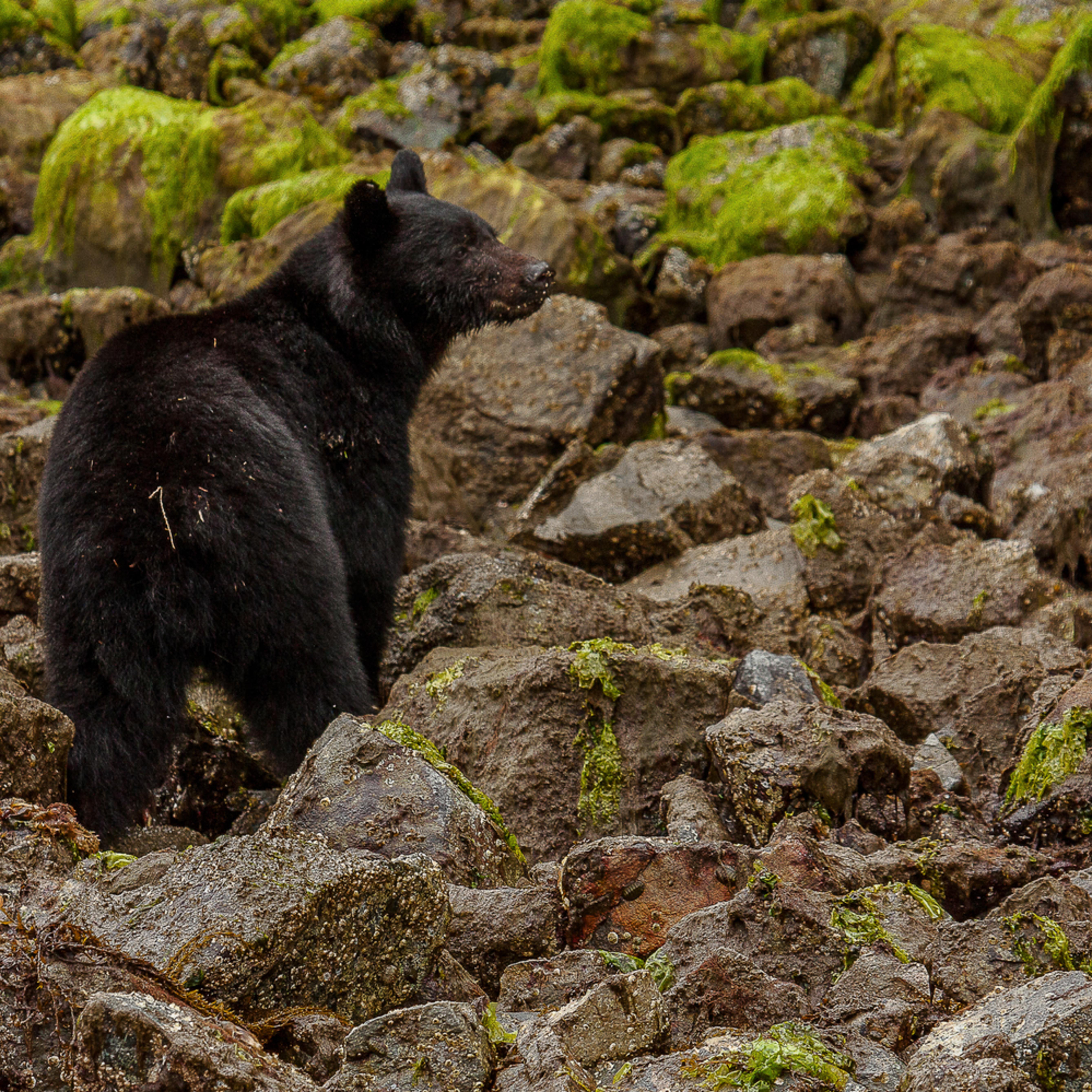 Black bear zlj8qk