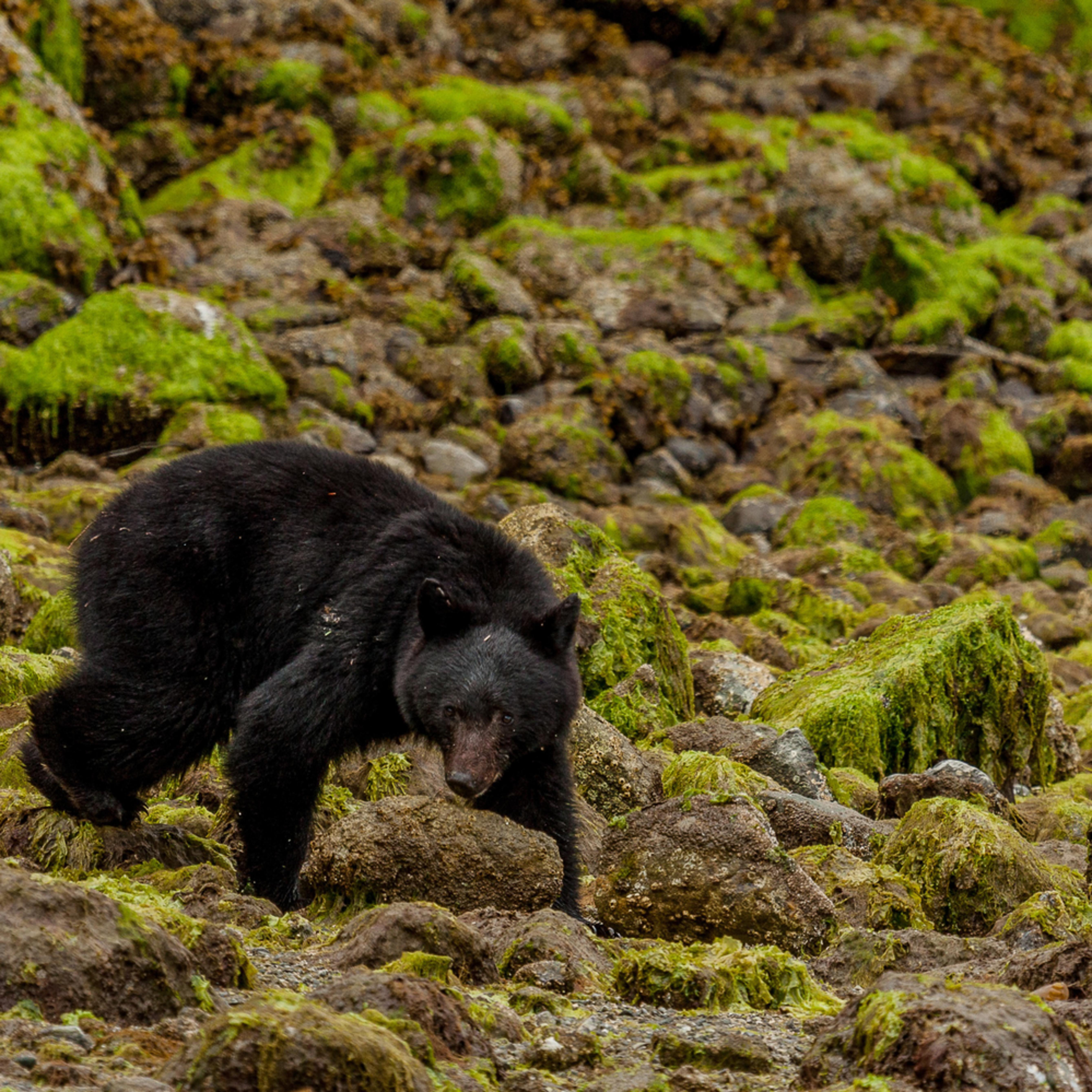 Black bear 5 bdbtjh