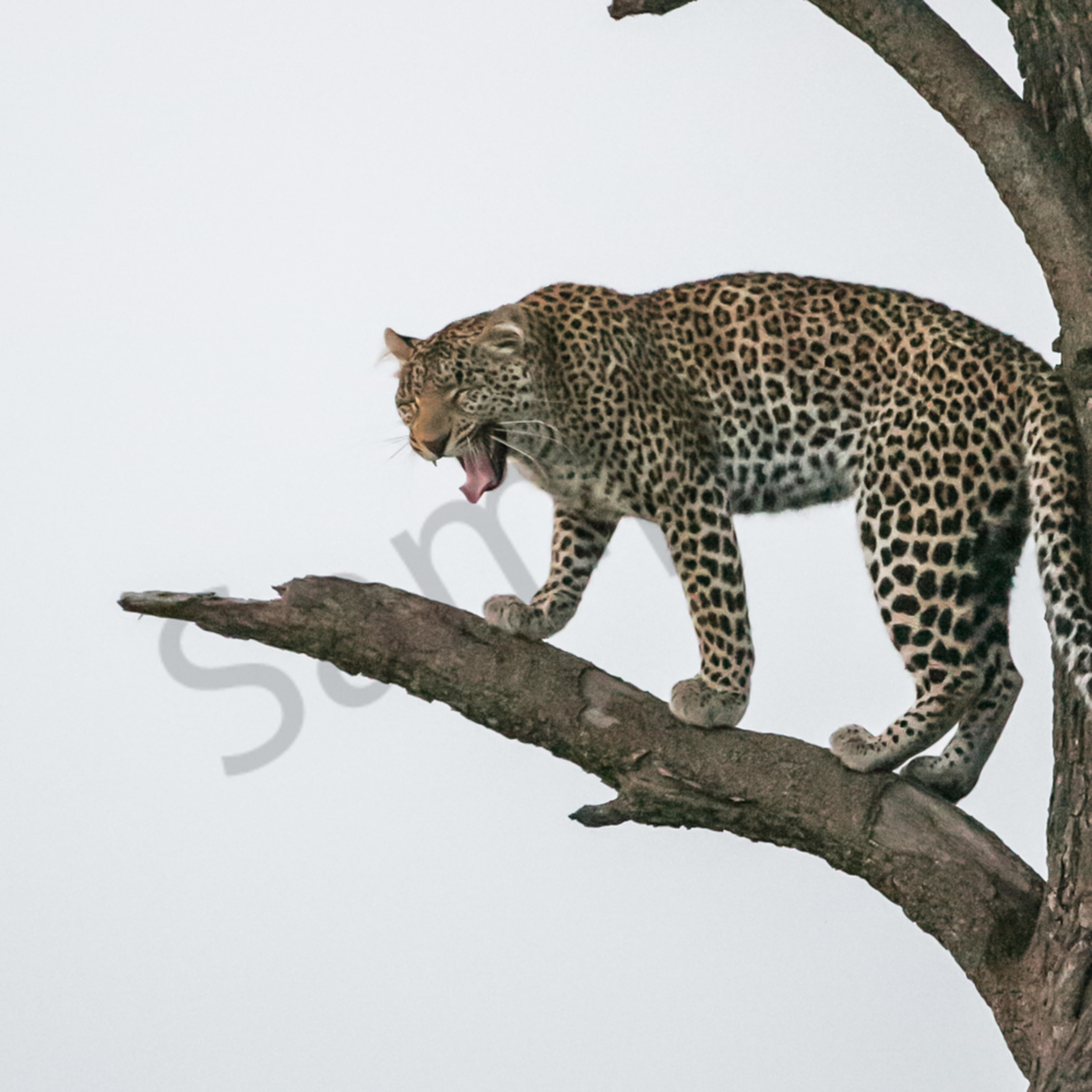 Screamingleopard d69jz5