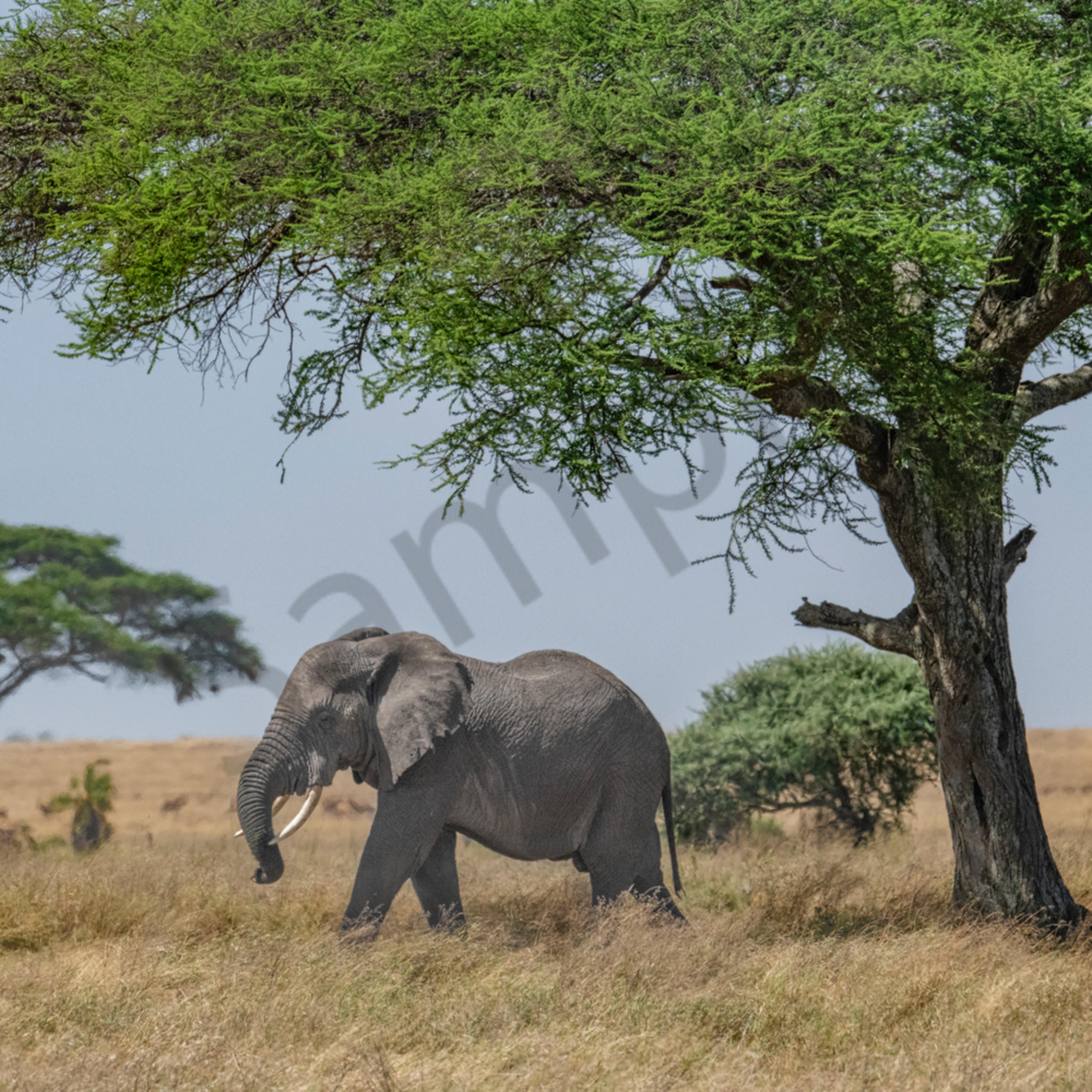 Elephant undr tree ltang2