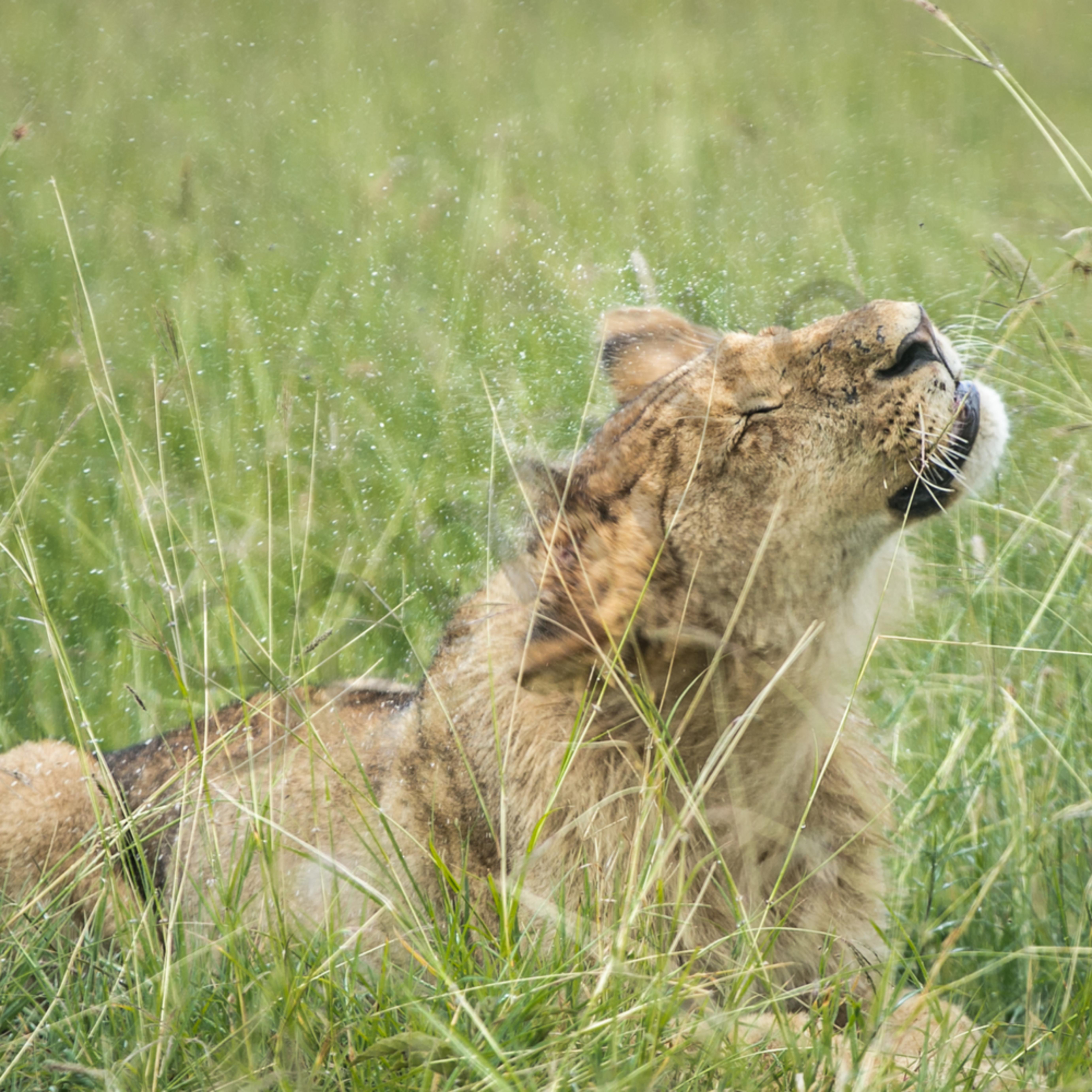 Lionshakingoffrain pqurg5