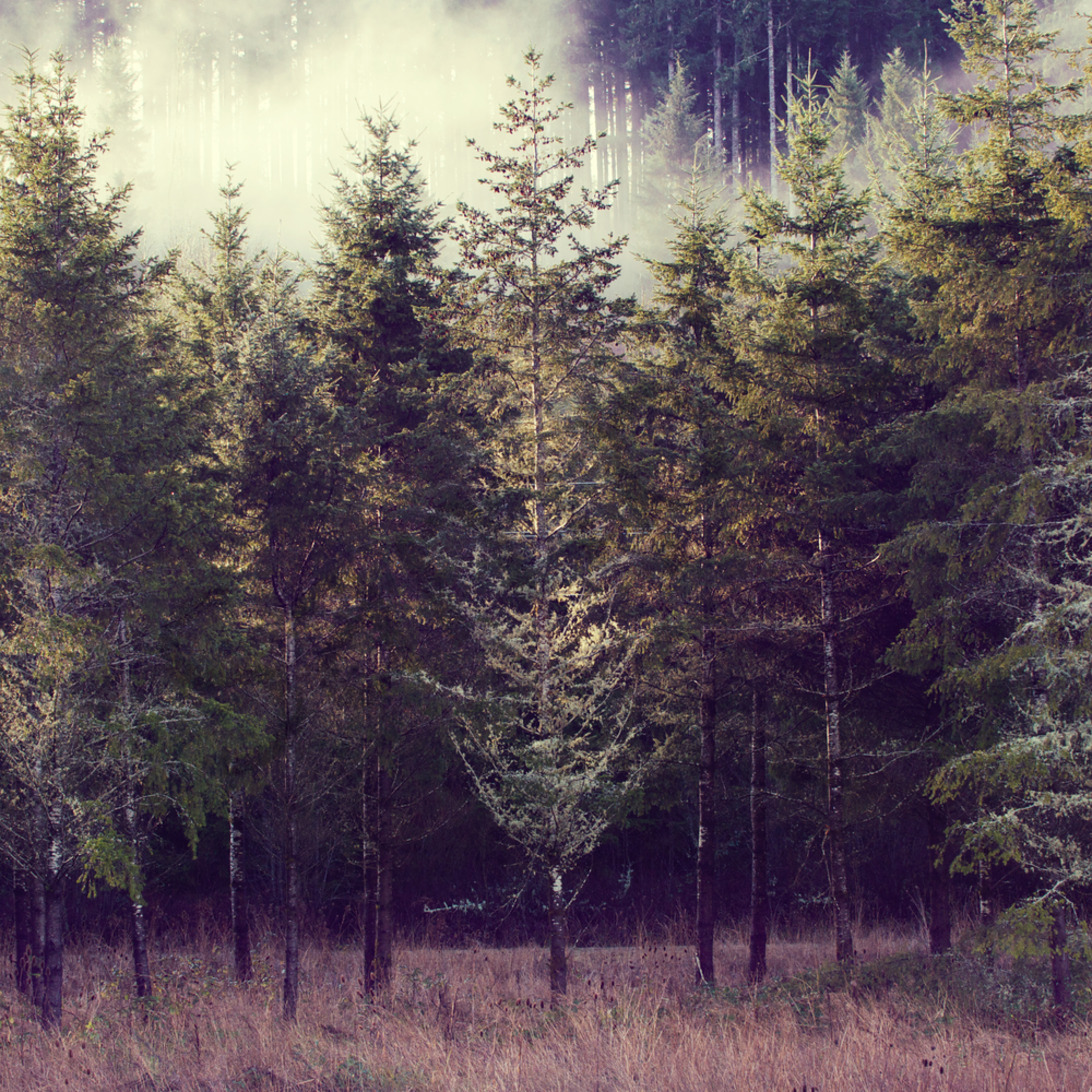 Morning evergreens f06diw