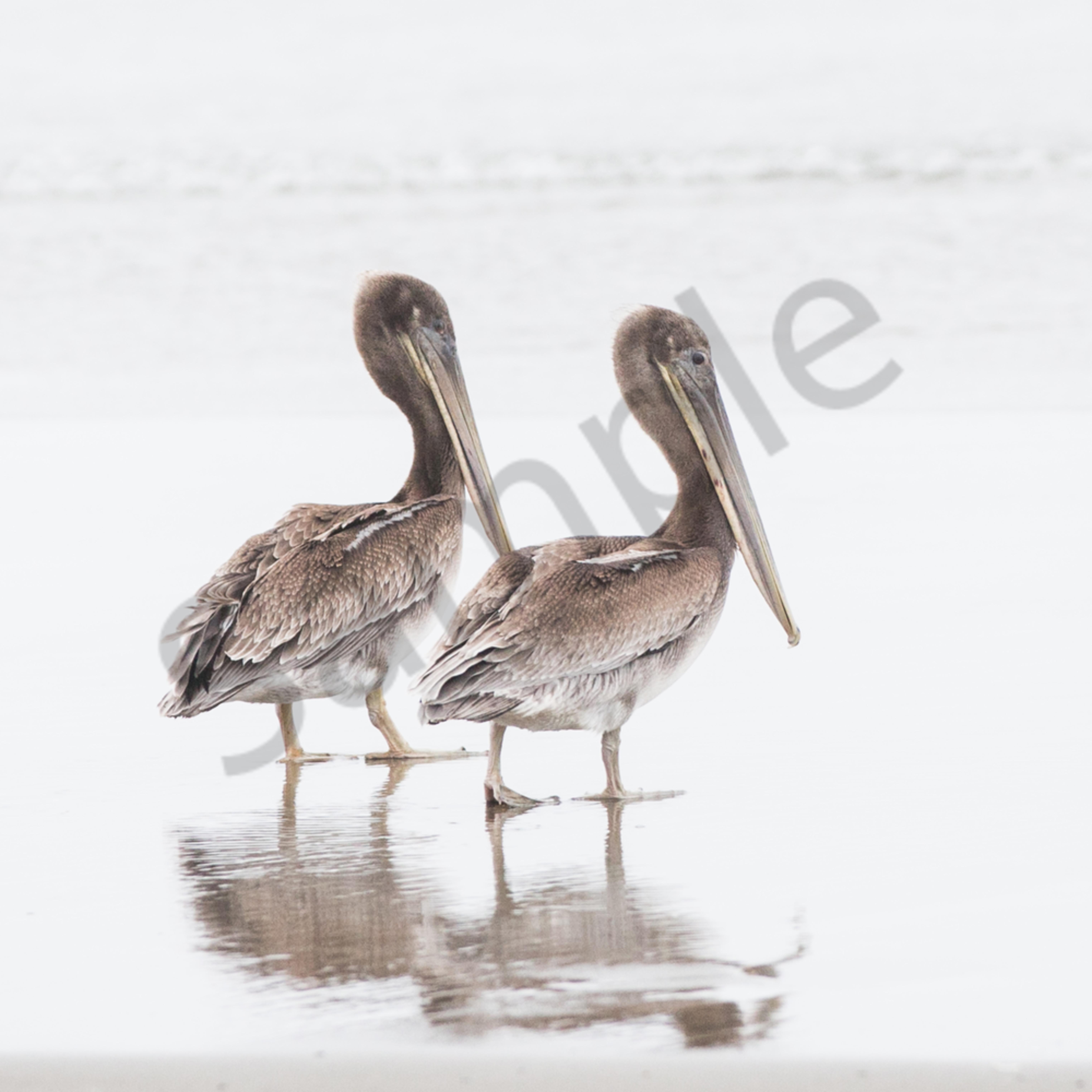 Pelicanduo uliofe