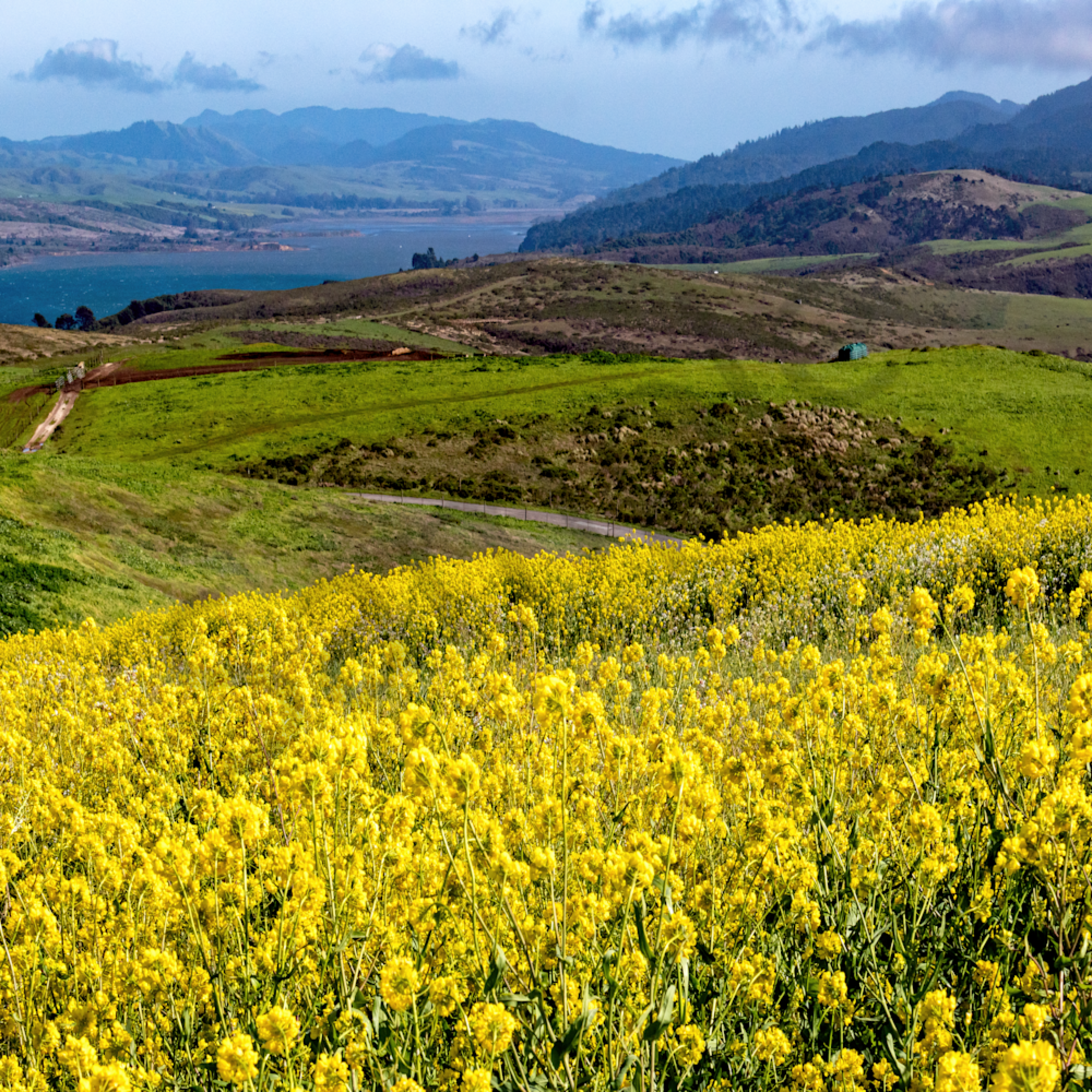 Fields of gold flowers overlooking north shore of point reyes ca kdraca