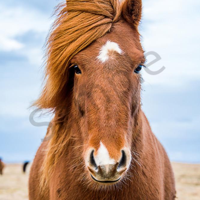 Model icelandic horse vdihbu