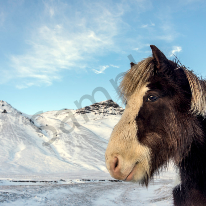 Brown white horse snow behind gfeldv