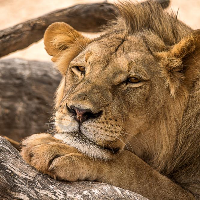 Lion paw u0877r