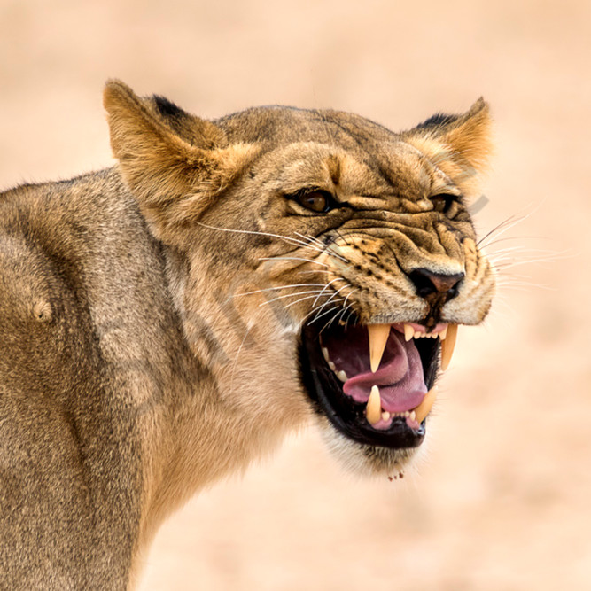 Angry lioness xdwunf