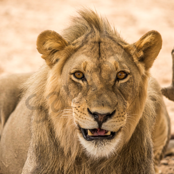 Smiling lion qu5uru
