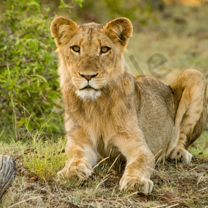 Lion by green bush xa5qmj