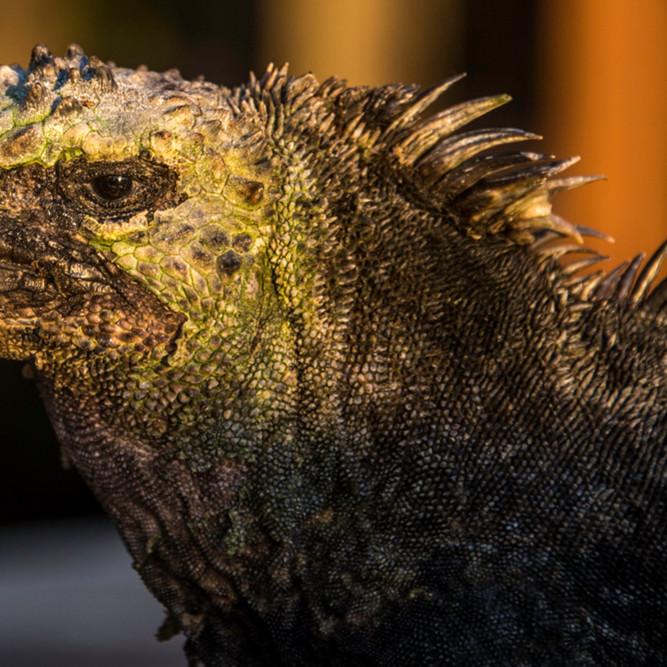 Marine iguana in profile f3v3la
