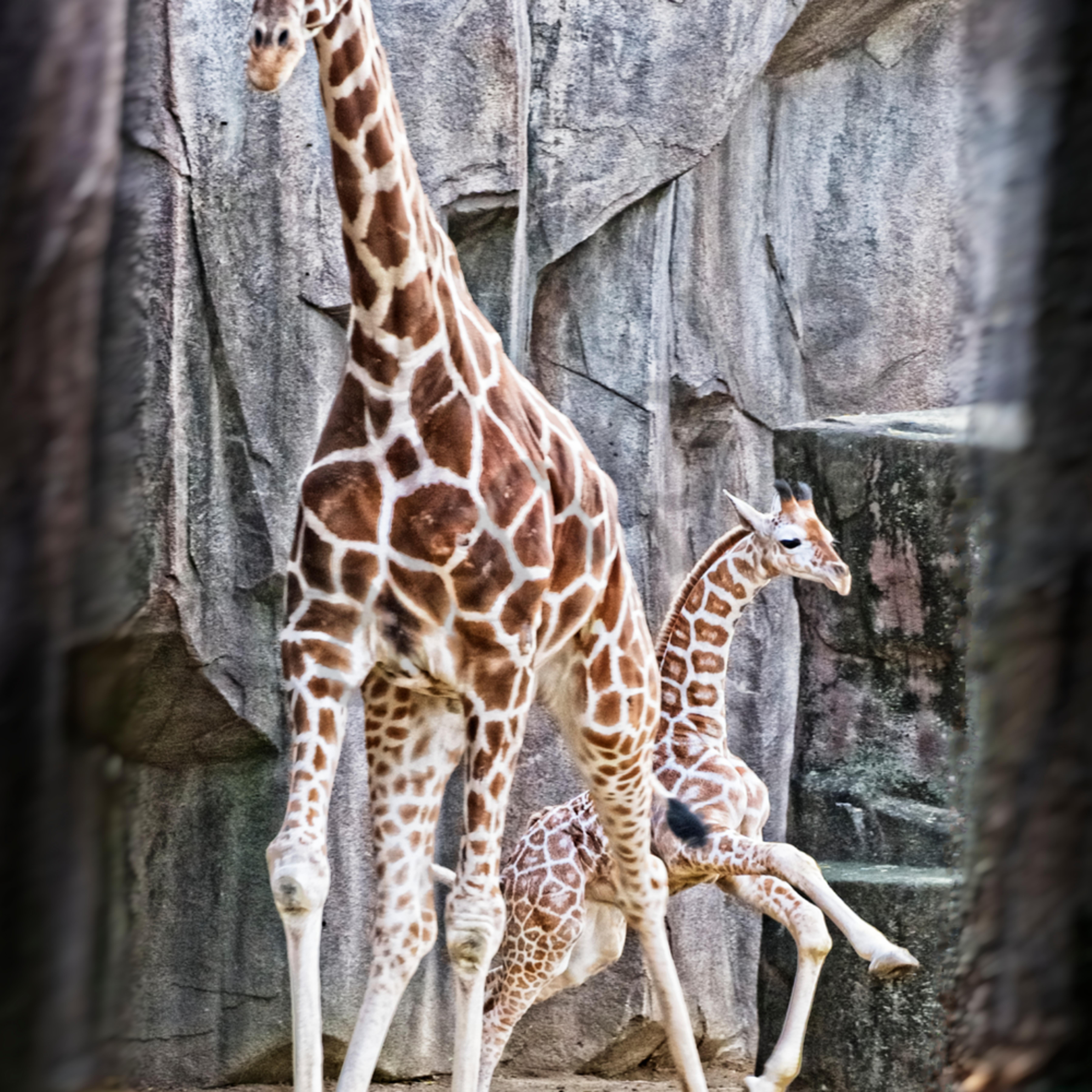Giraffe play final kmqcls