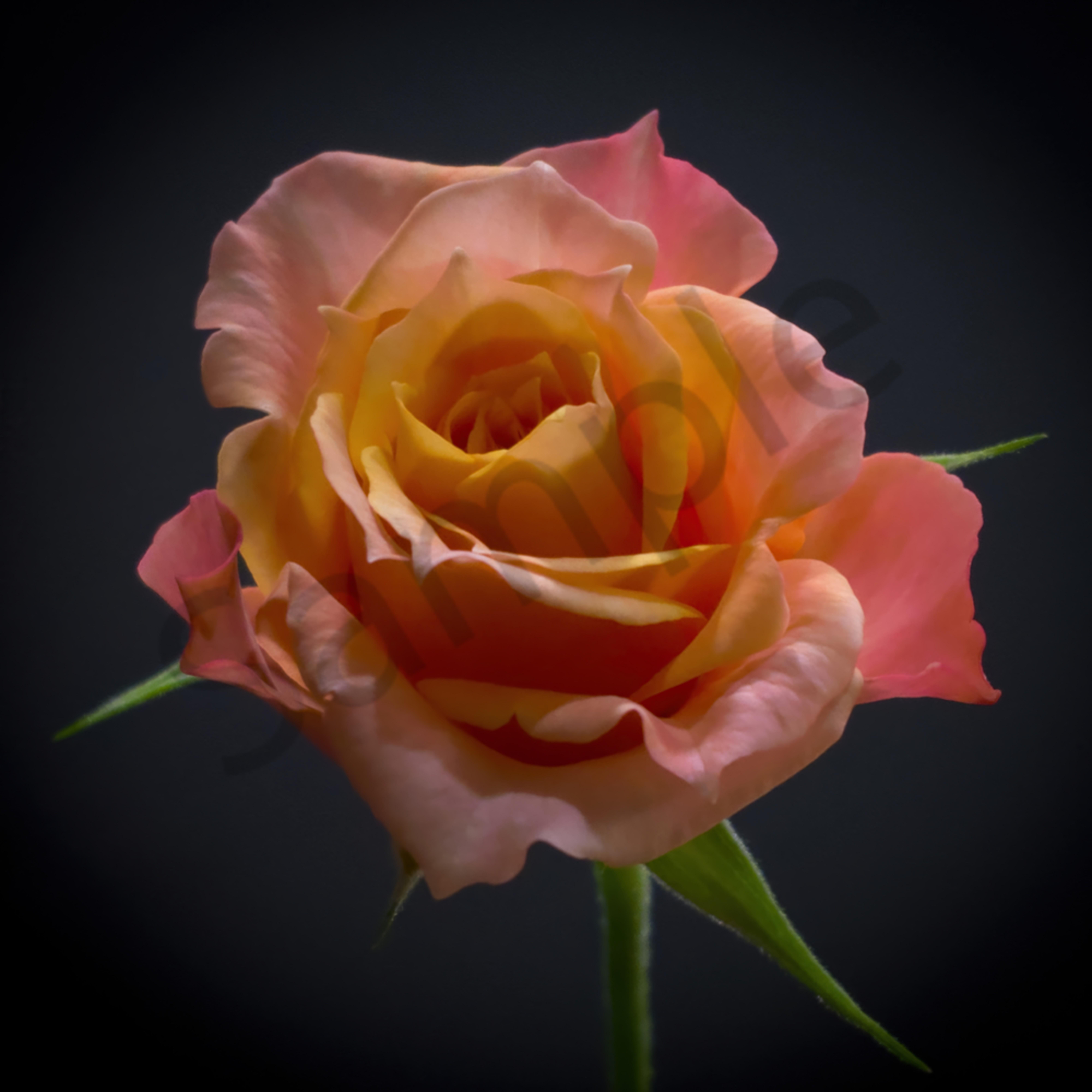 Miniature rose jijple