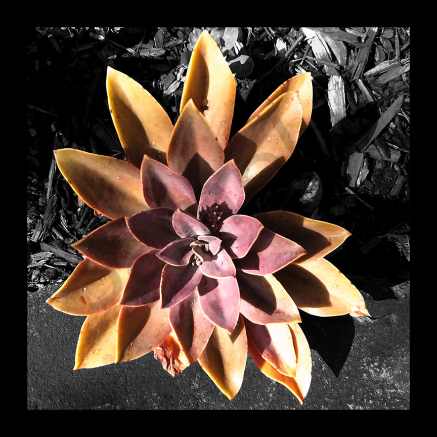 Succulent flower copy 12x12 lrvueh