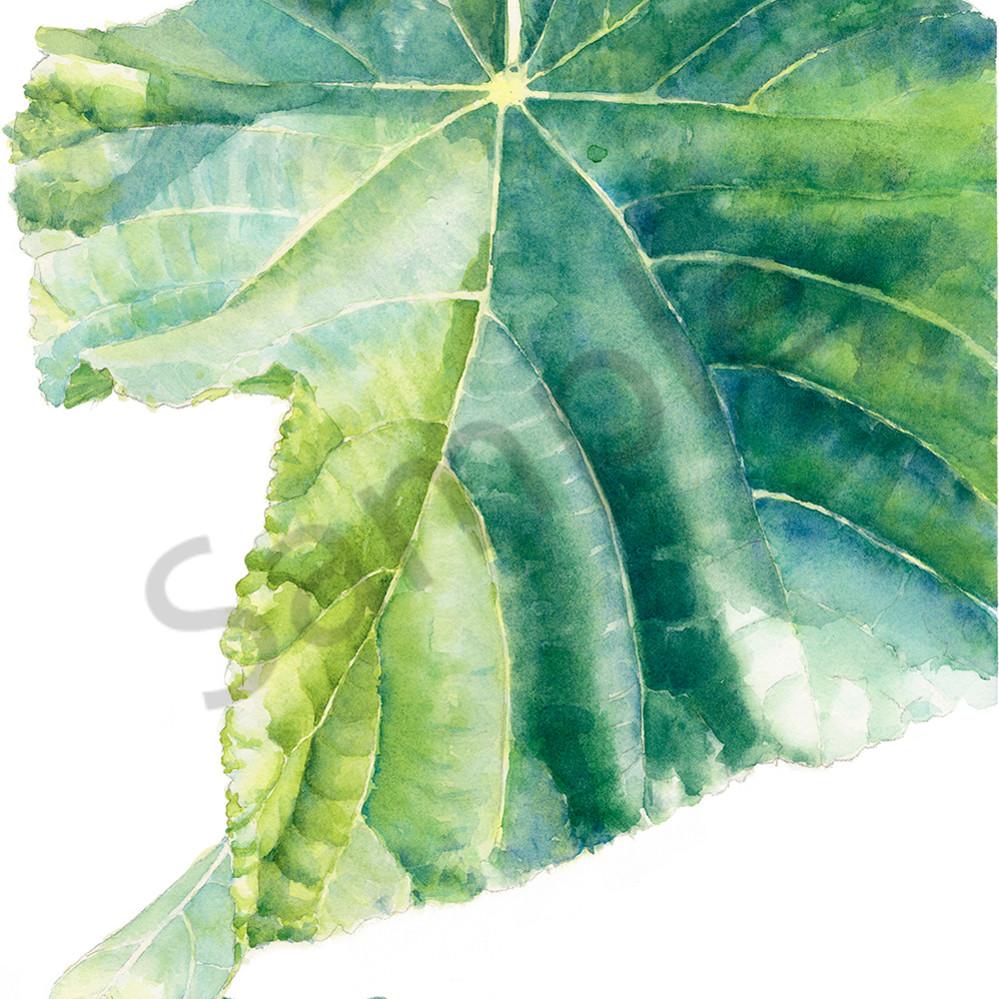 Single dombeya leaf poexal